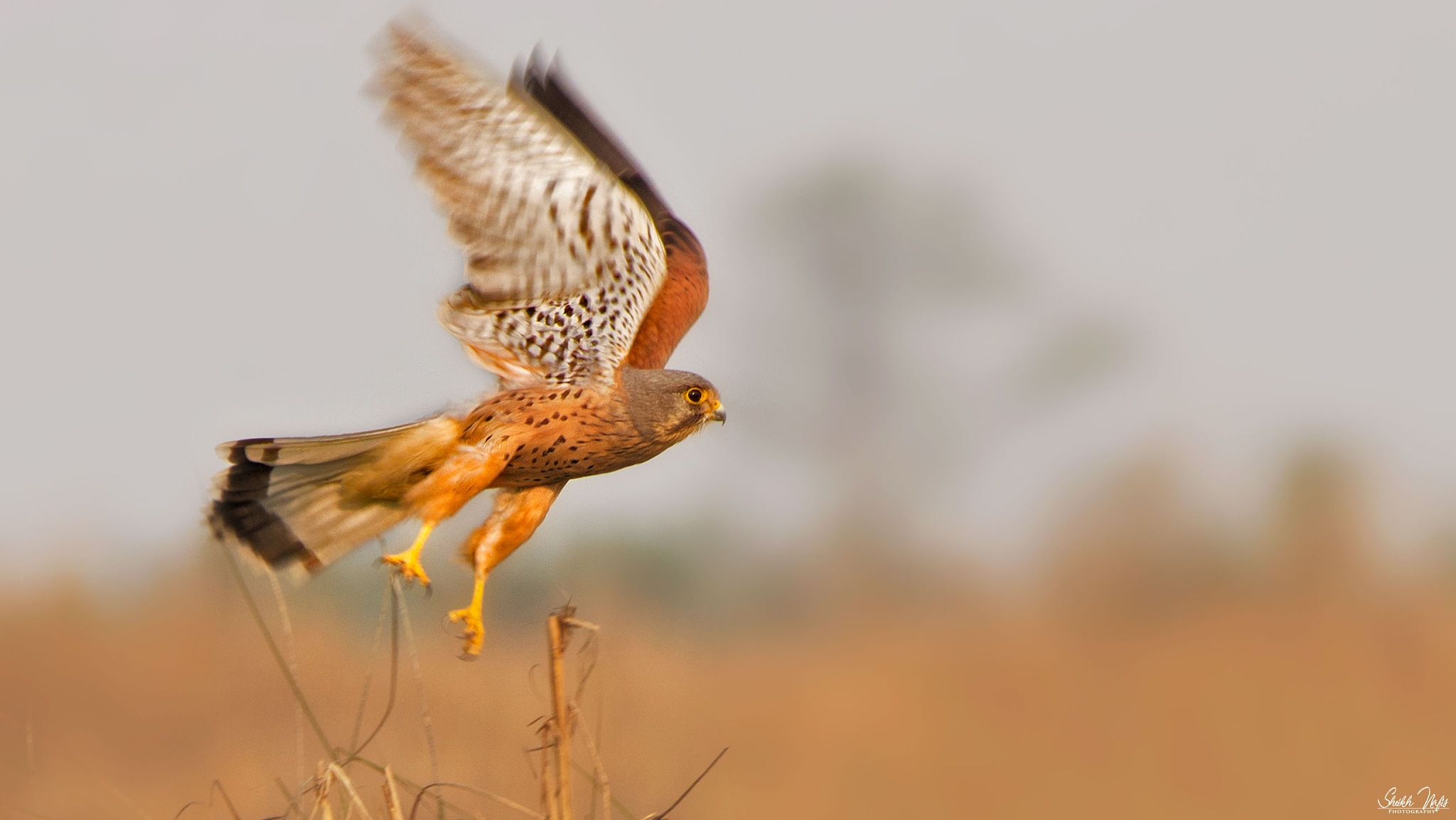 Common Kestrel by Sheikh Nafis