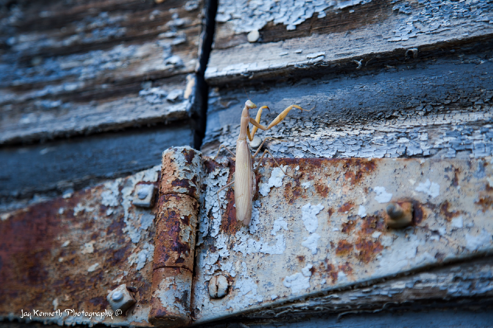 Praying Mantis on Old Hinge by Jay Kenneth Usselman