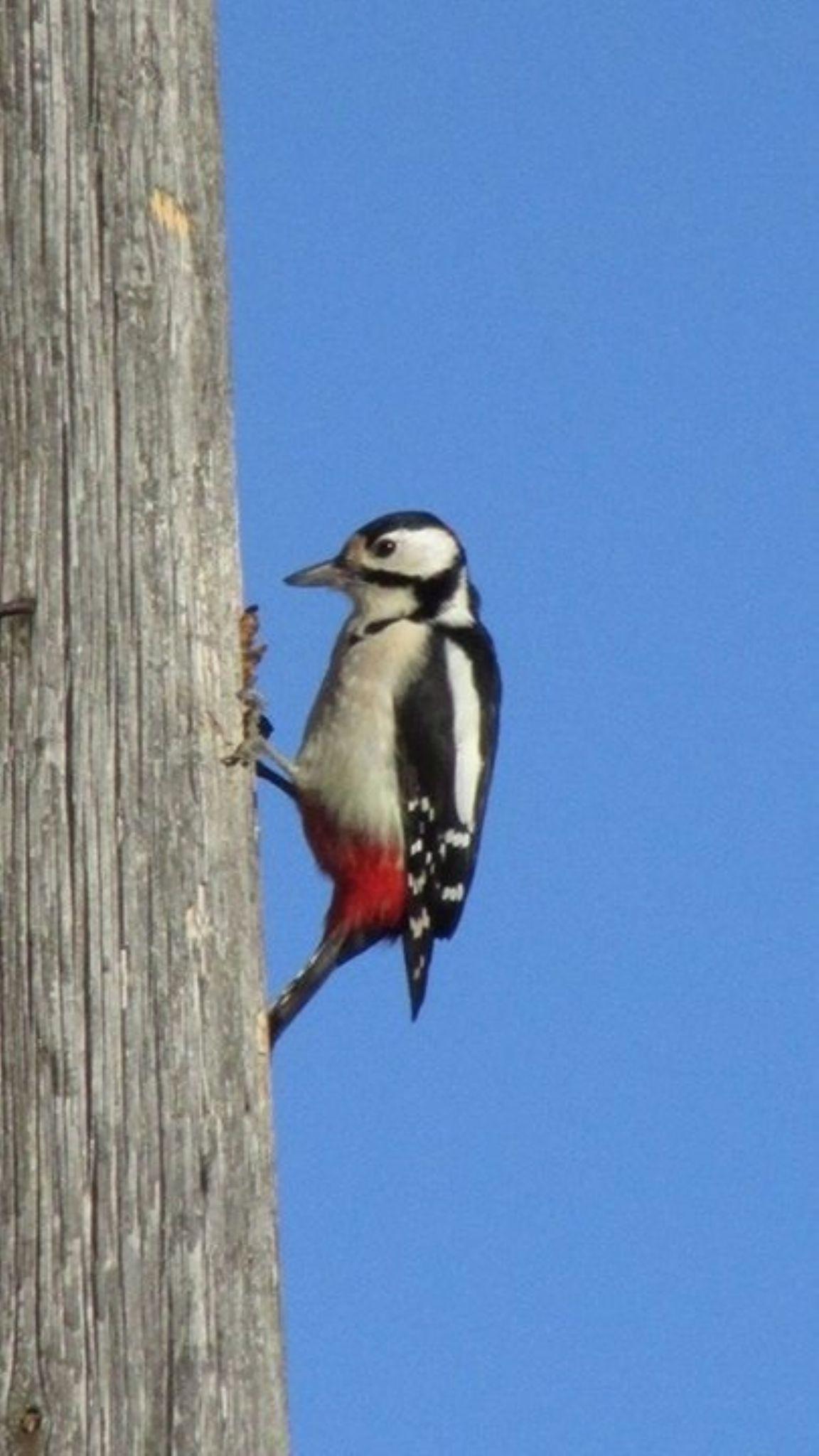 Woodpecker by saaramus