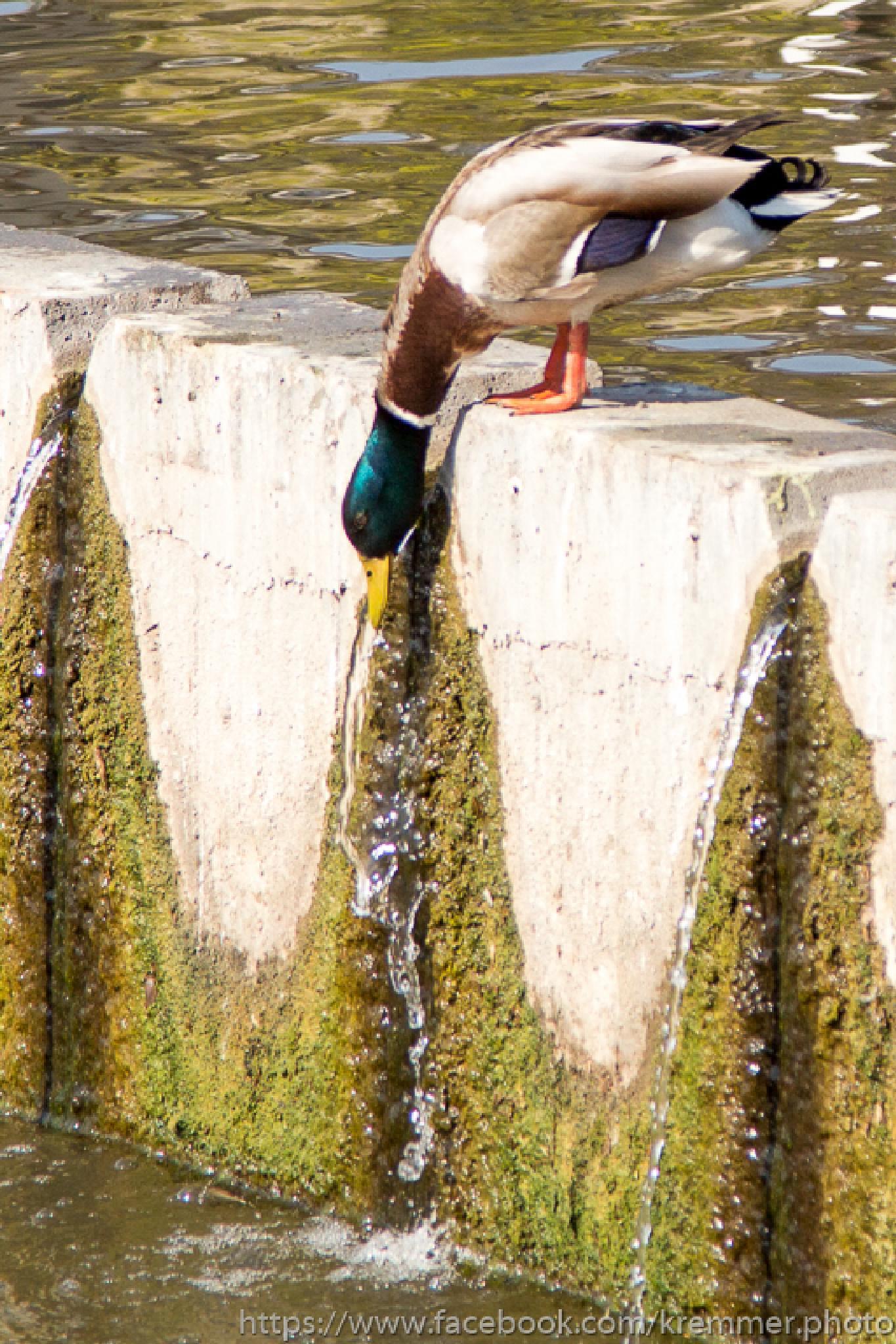 Wild duck in City Park lake by Laszlo J.Kremmer