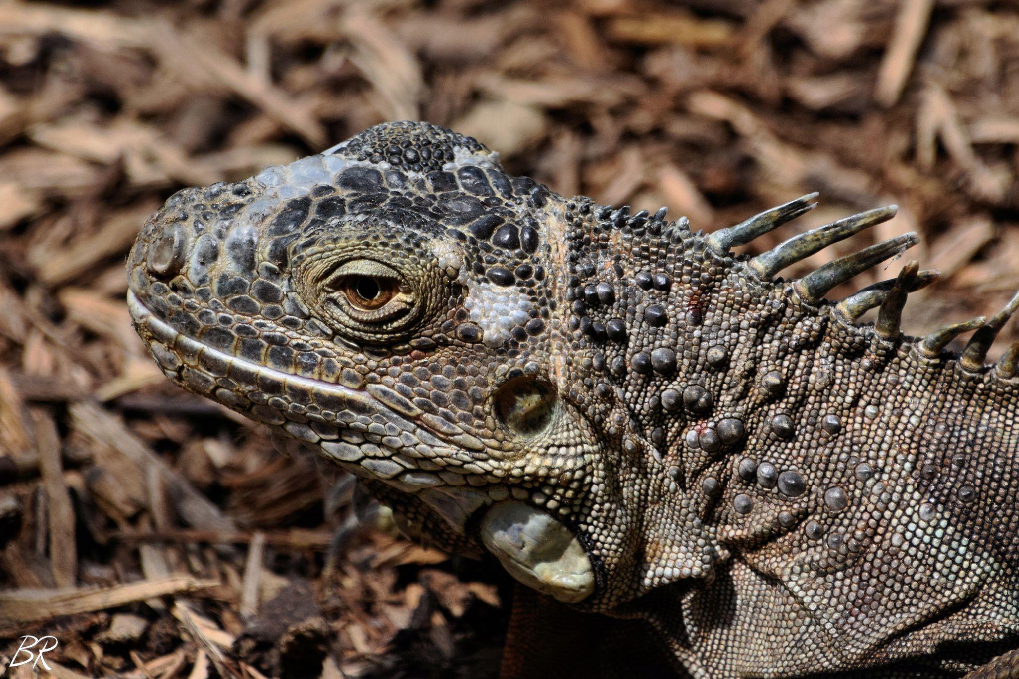 Iguana by Bruna R.