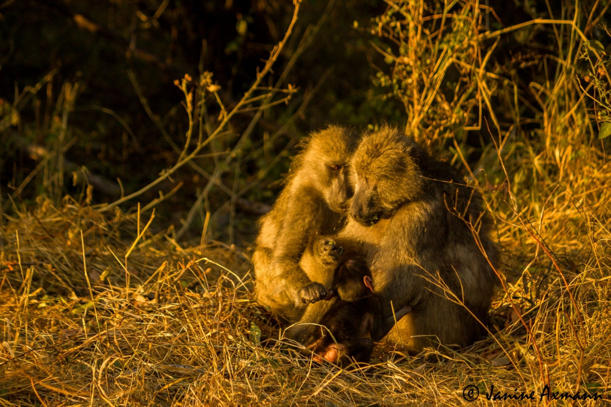 Golden Hour Primate Intimacy by Janine Axmann
