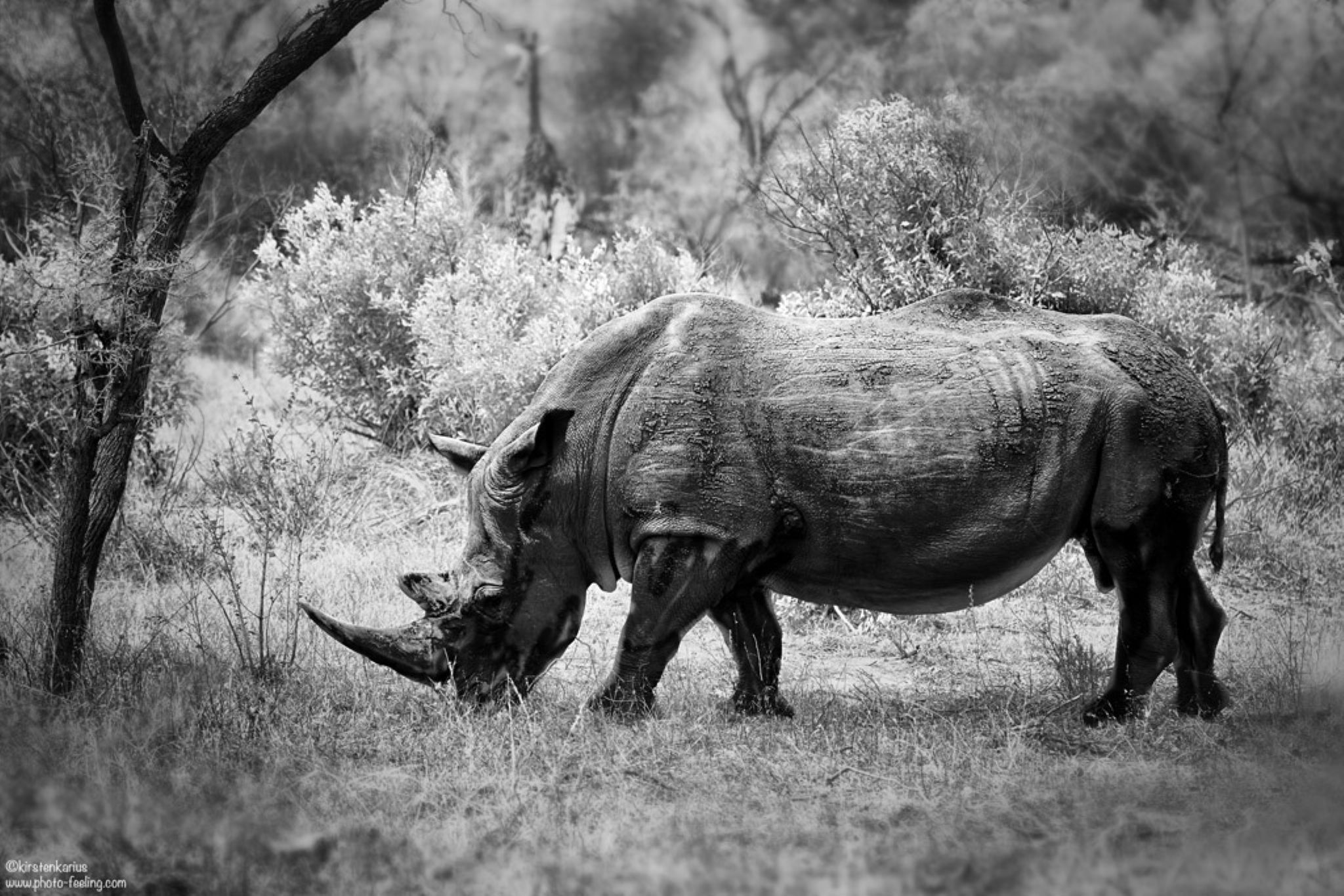 one of the last rhino by Kirsten Karius