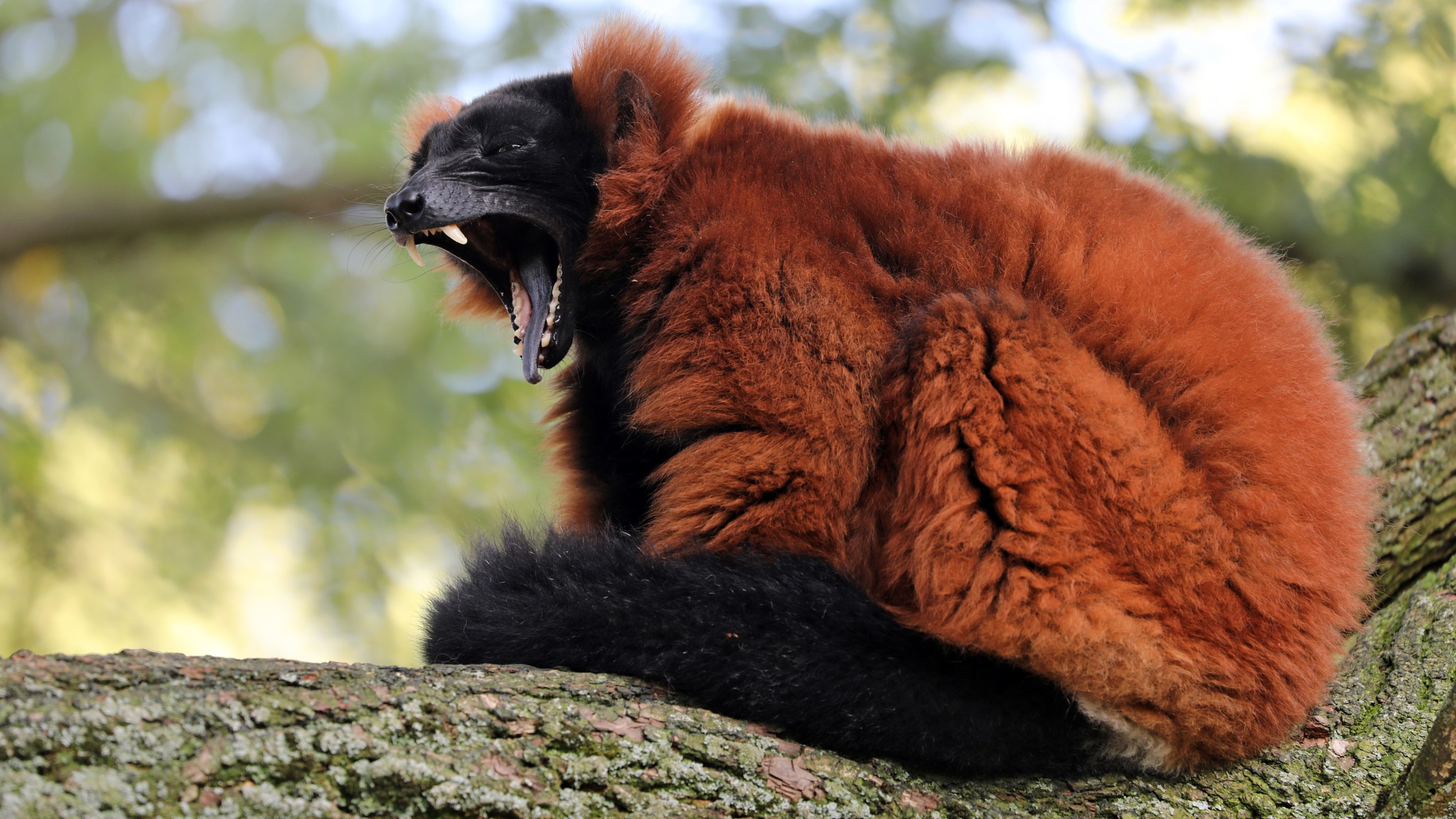 Red ruffed lemur by Edwin Butter