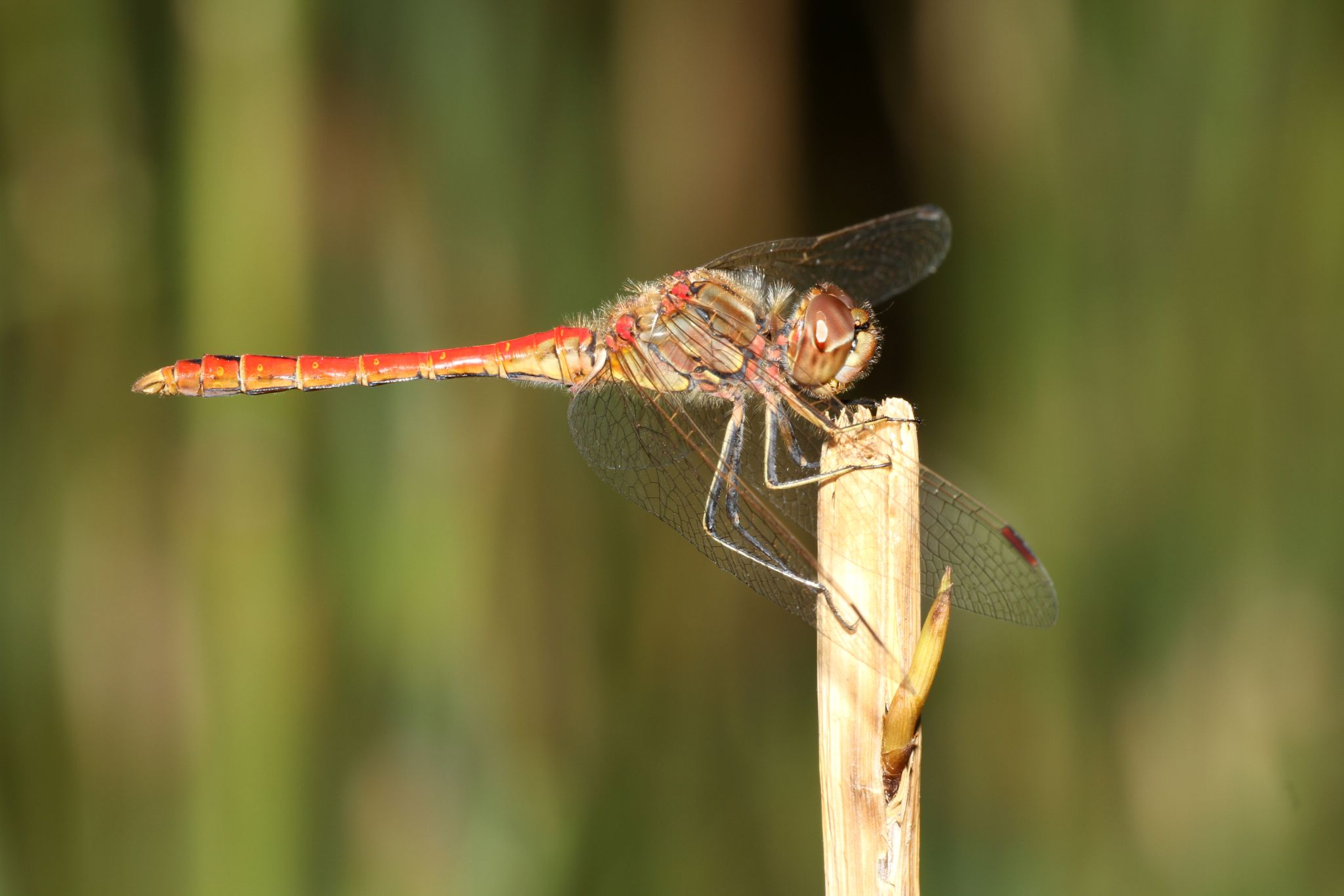 Dragonfly by Edwin Butter