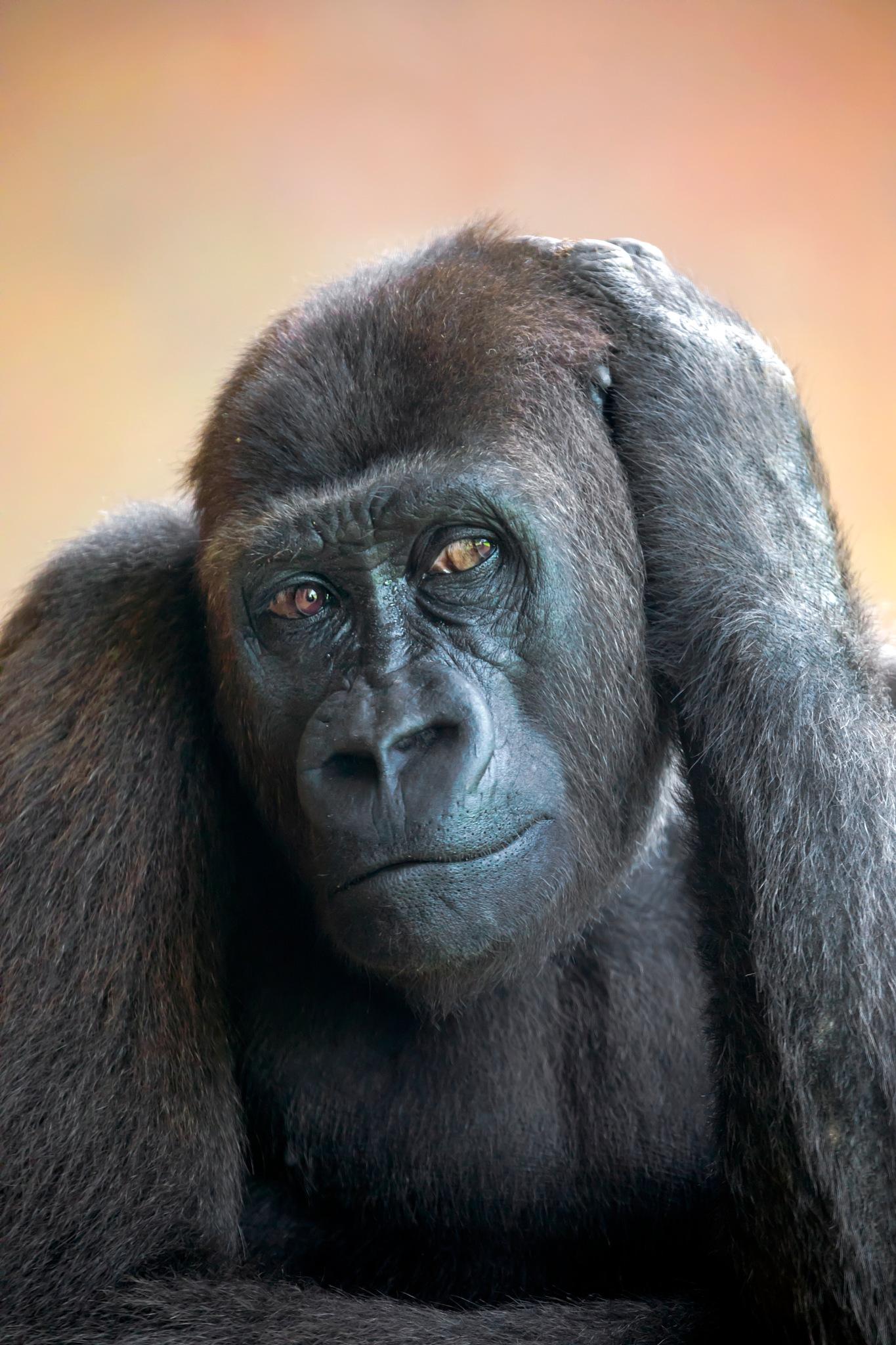 Western Lowland Gorilla by Edwin Butter
