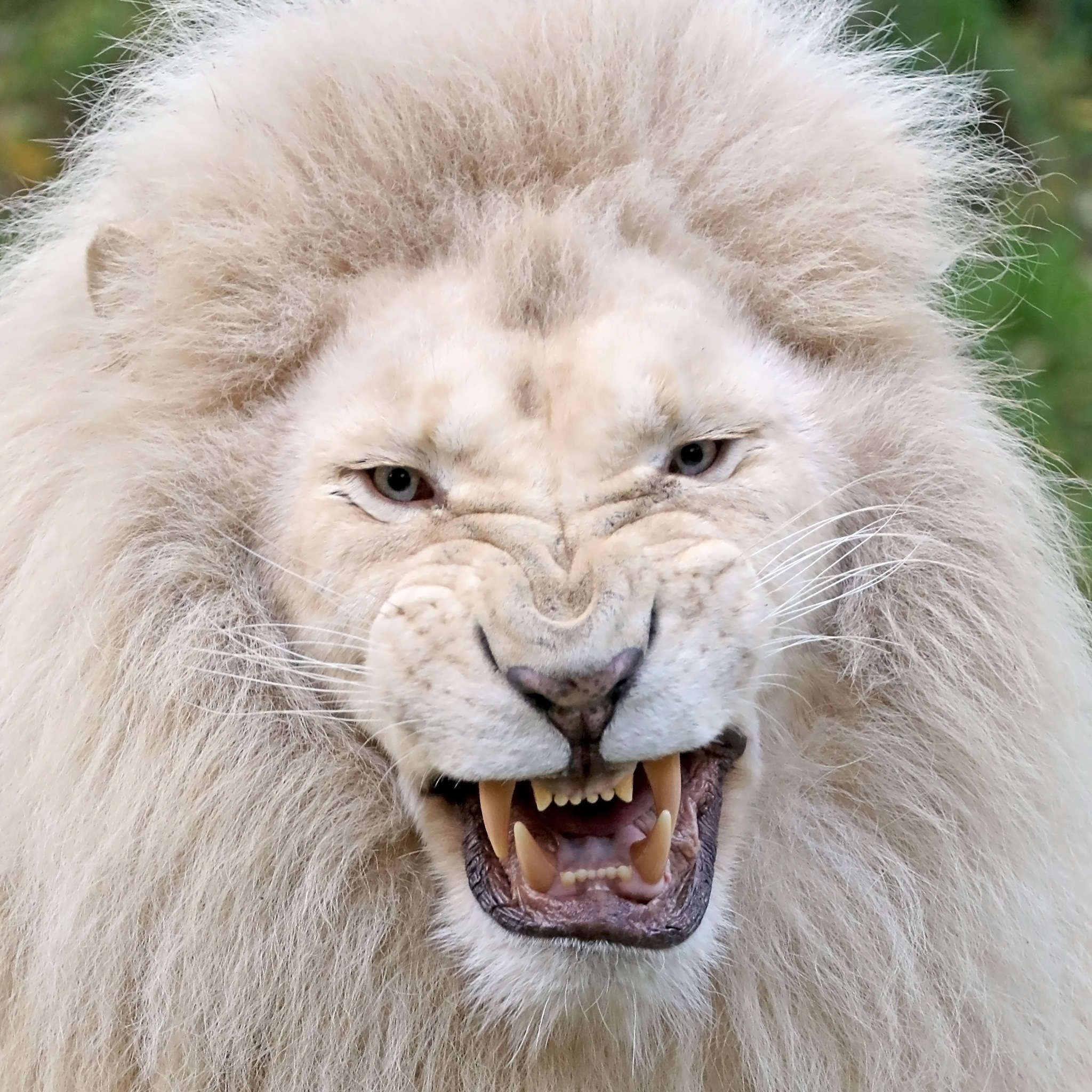 White Lion by Edwin Butter