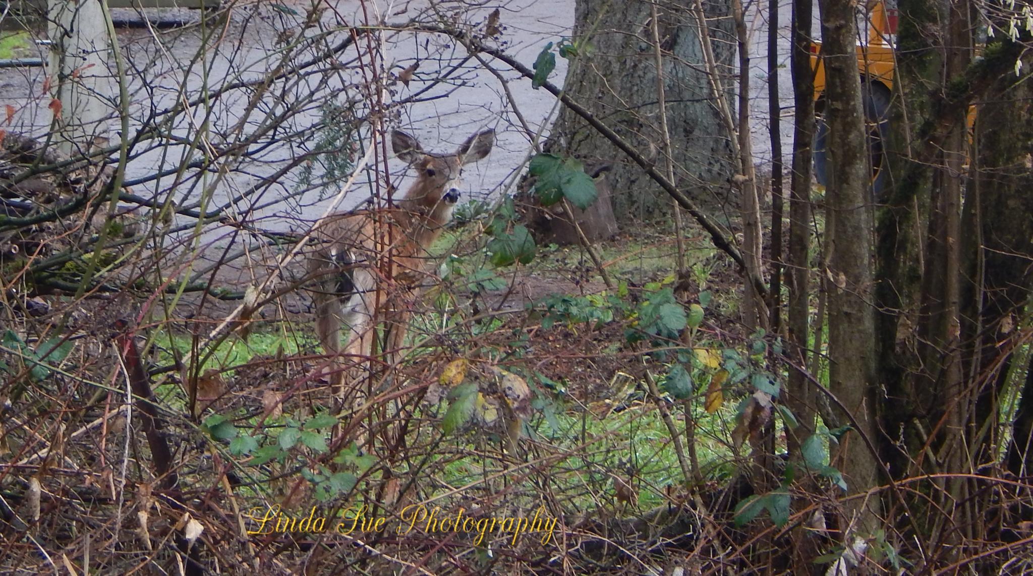 """""""Wild Deer"""" by LindaSuePhotography"""