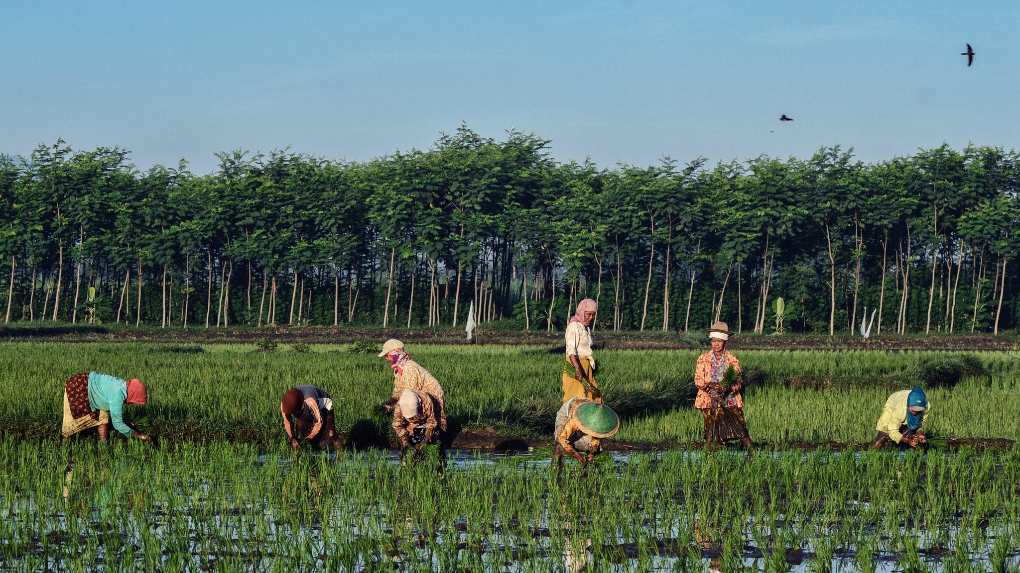 Rice Planting by Wahyu Mardiarto