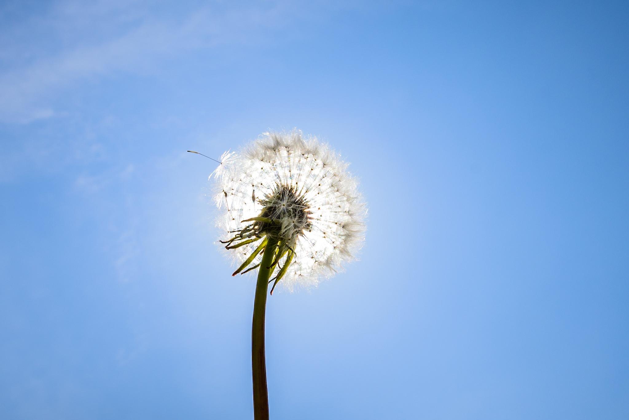 Dandelion in the sun by Jostijn Ligtvoet Fotografie