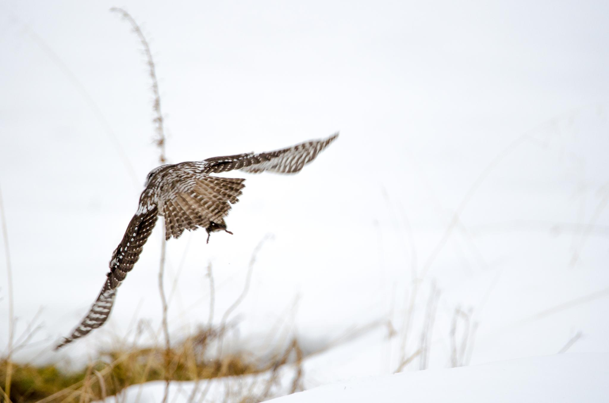 Northern hawk owl with catch by Roy Haakon Friskilae