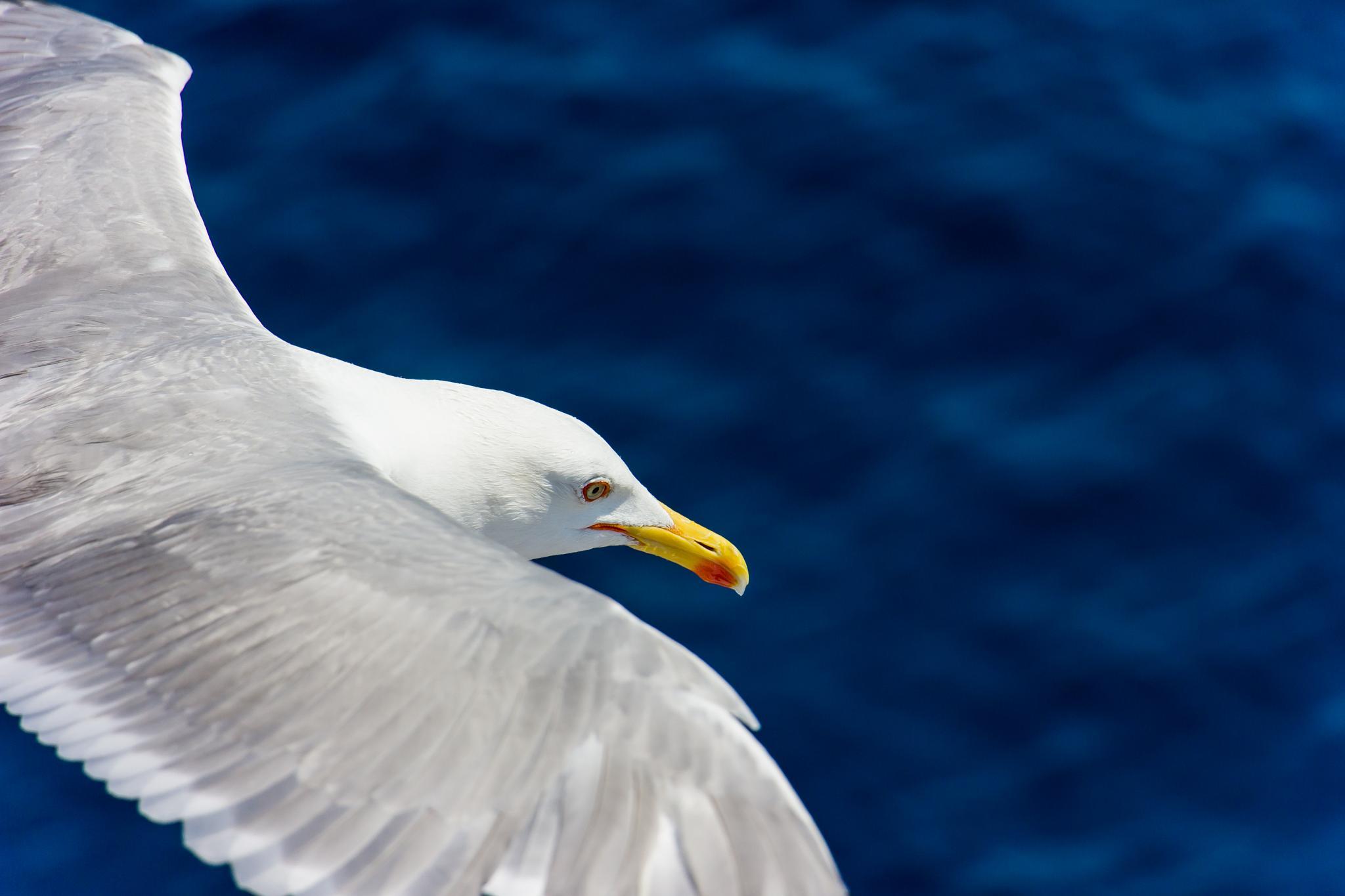 Gull by valentinobalan