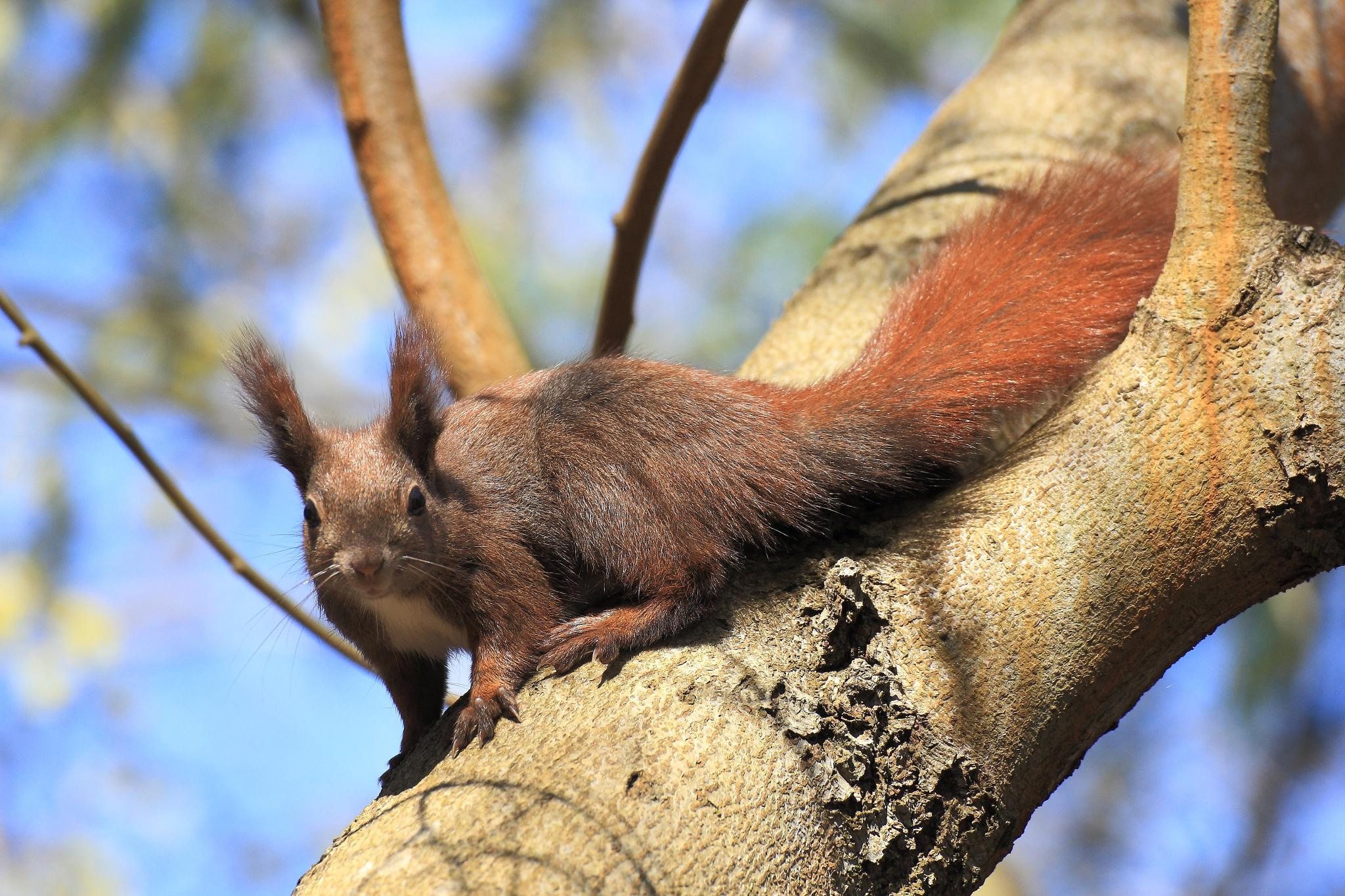 red squirrel by Ralf Muhl