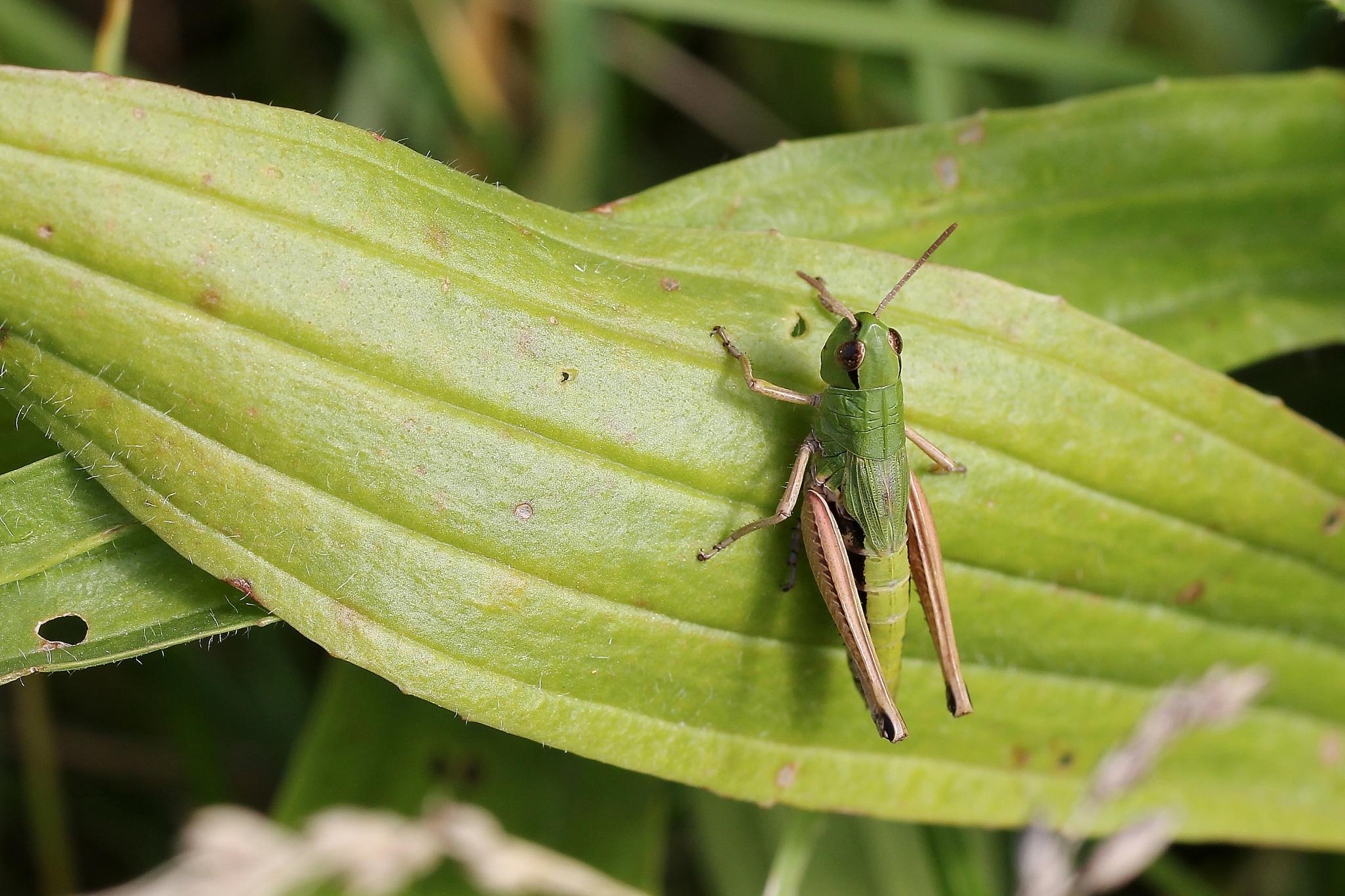 Photo in Macro #makro #macro #grashopper #insect