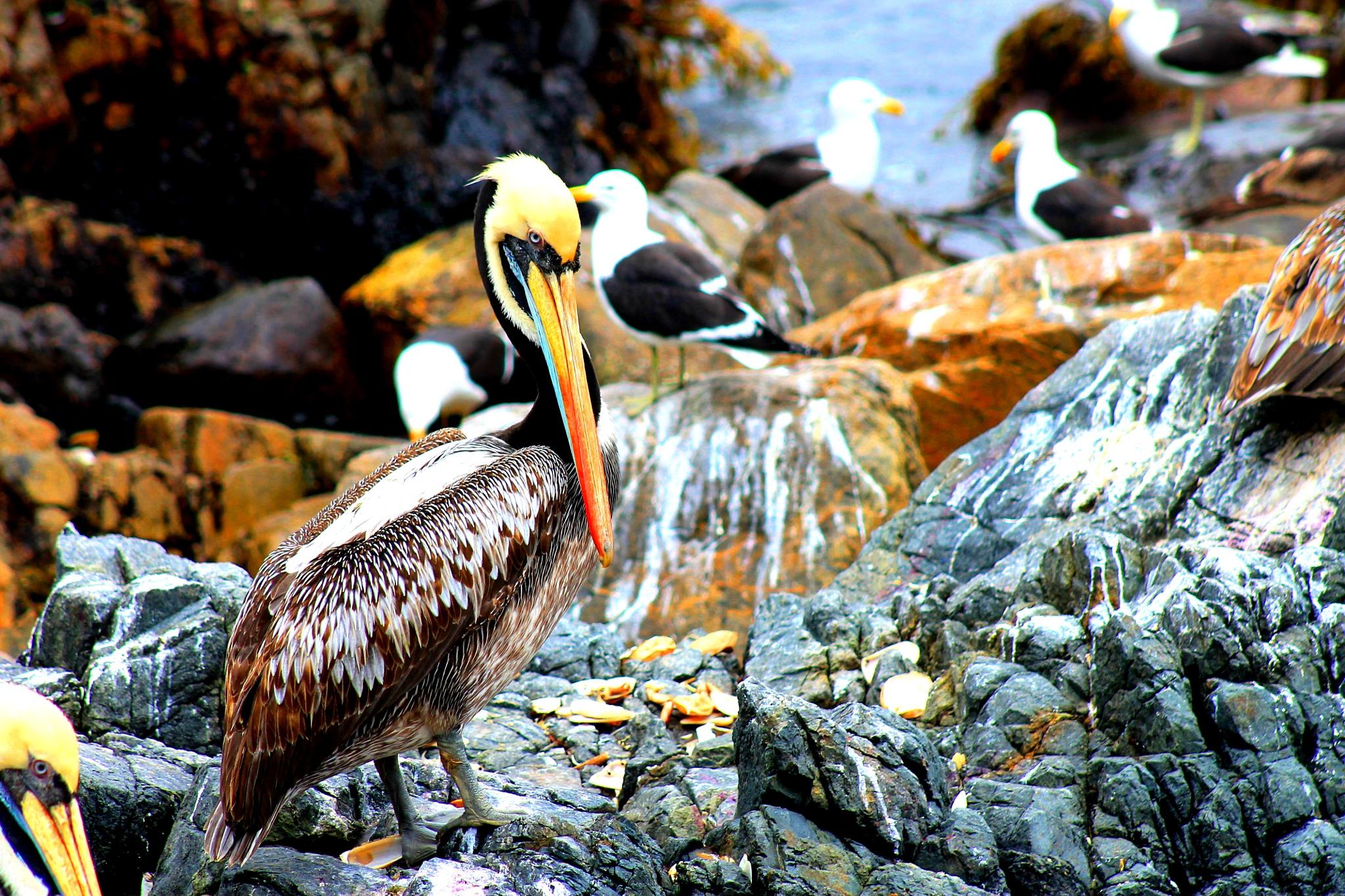 Pelicano by gabriela goñi