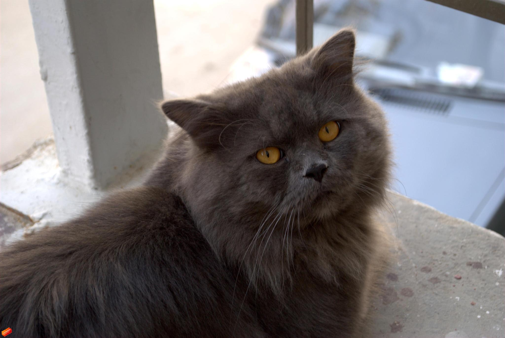 cat by Hasan.Raees