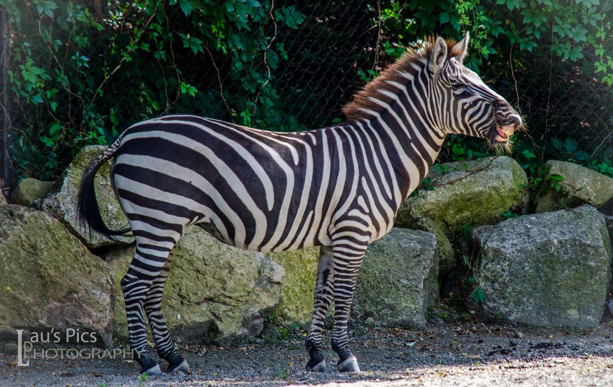 Zebra Says Cheese DSC_0967 by lauspics