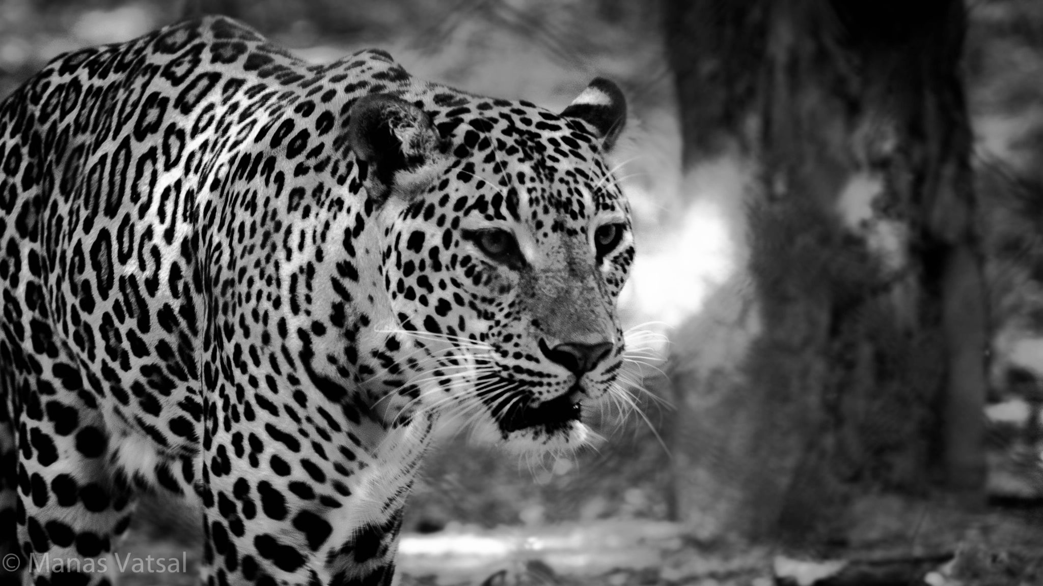 Mighty Leopard by mv_photography