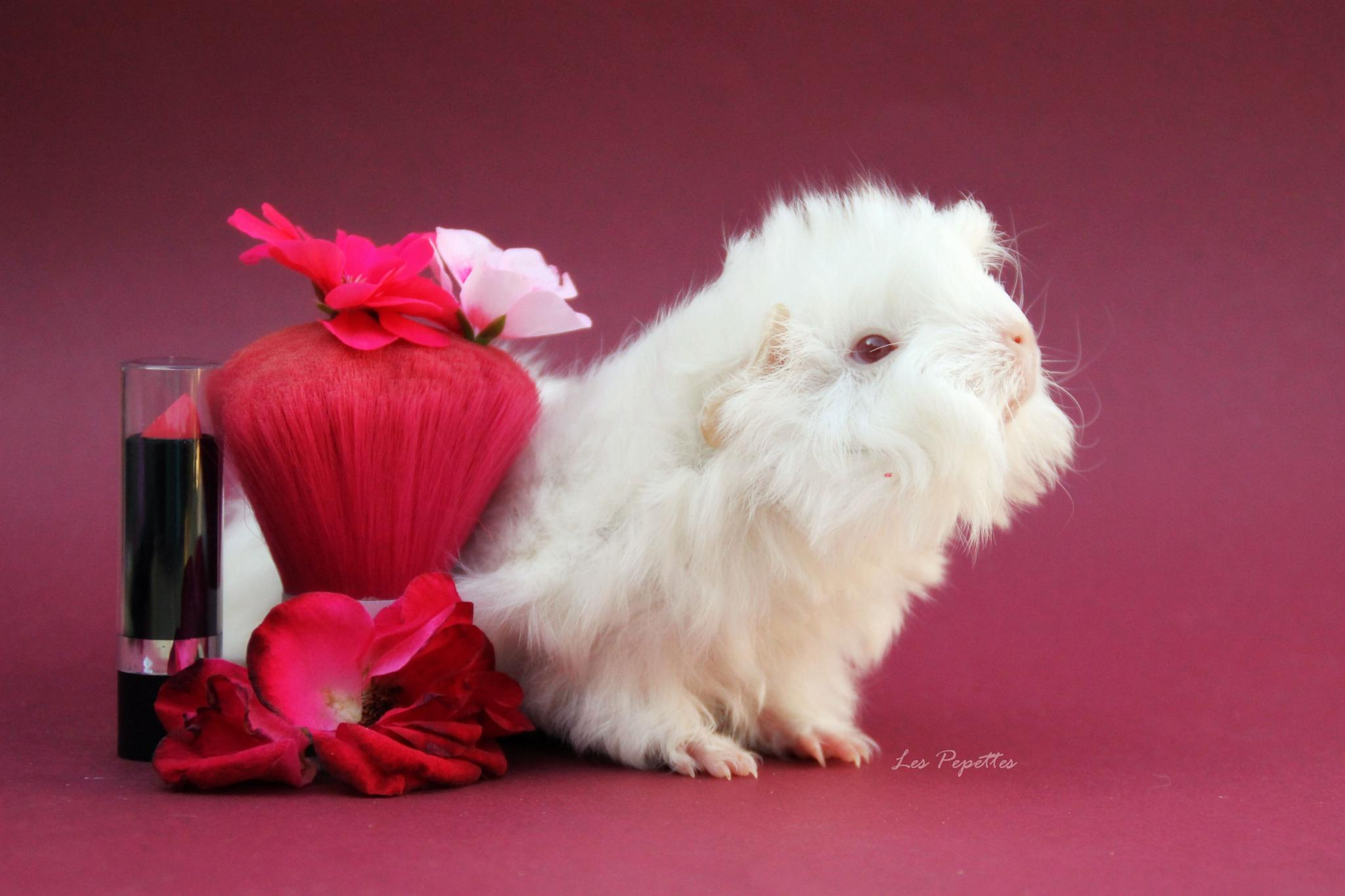 Photo in Animal #guinea #pig #pink #lovely