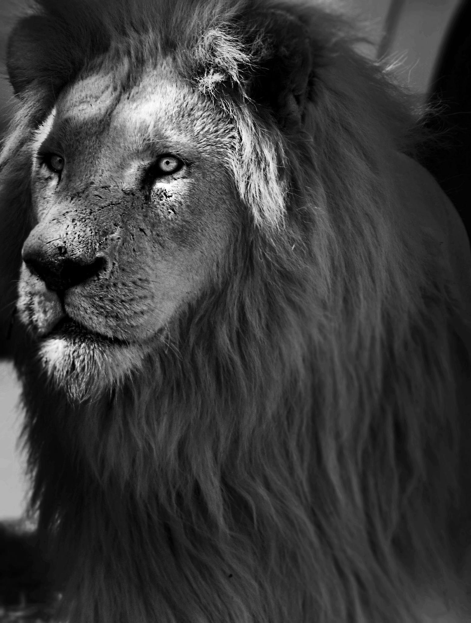 Lion by AnSophia