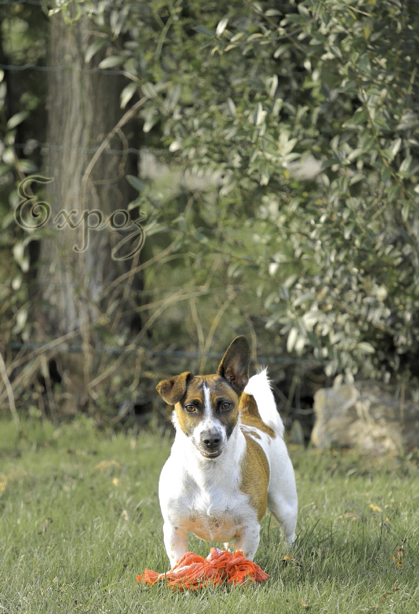 Jack Russel by Expo'Z