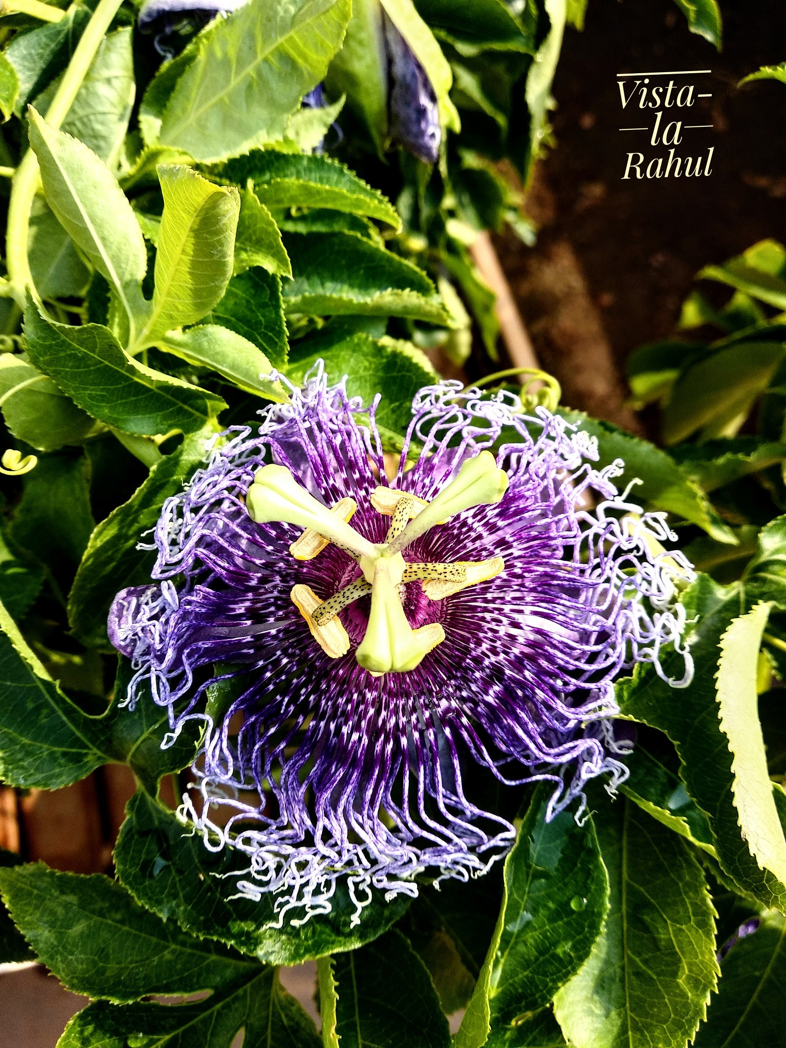 Purple Passion Flower by gedamicrahul