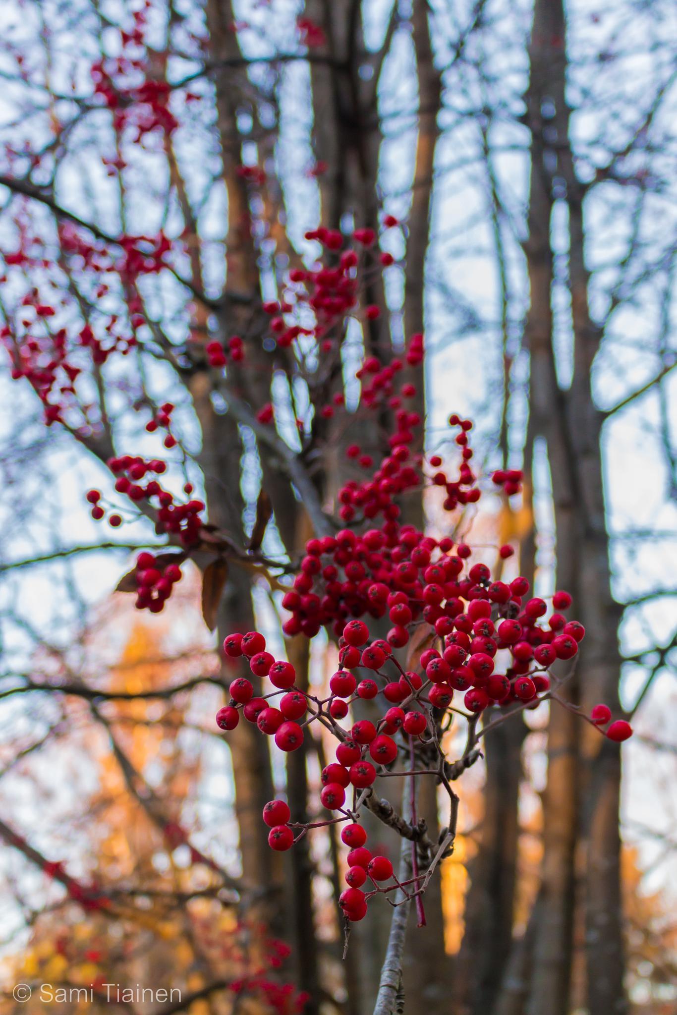 Sorbus tree - European Rowan by Sami Tiainen