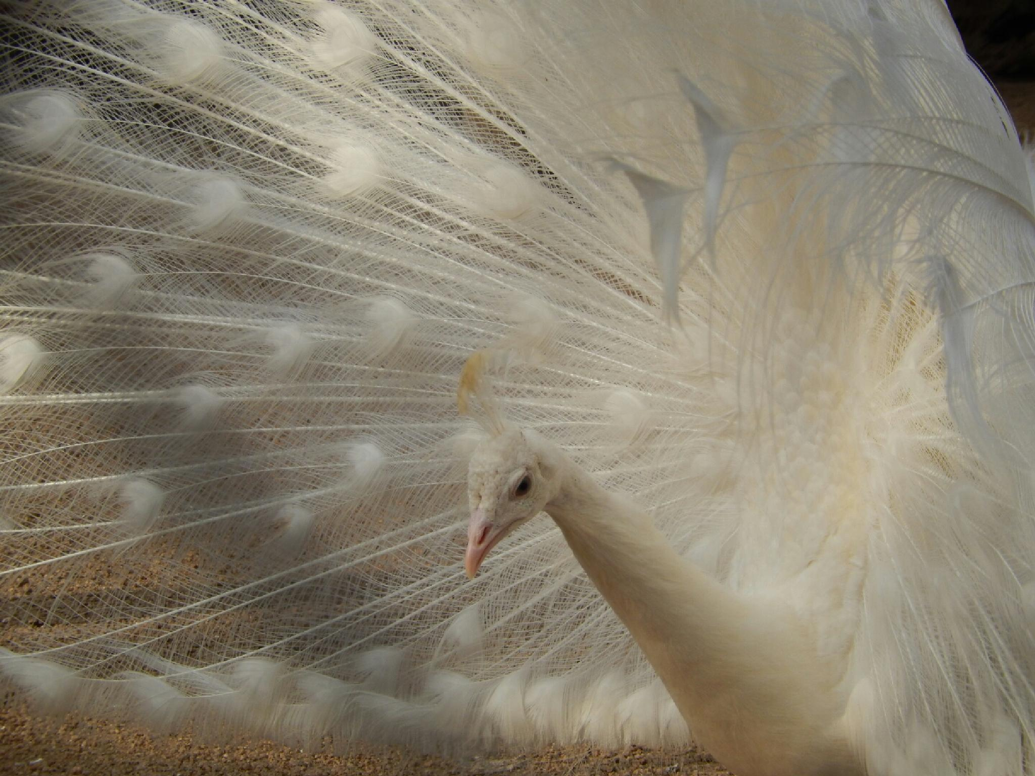 white peacock by monica_photo