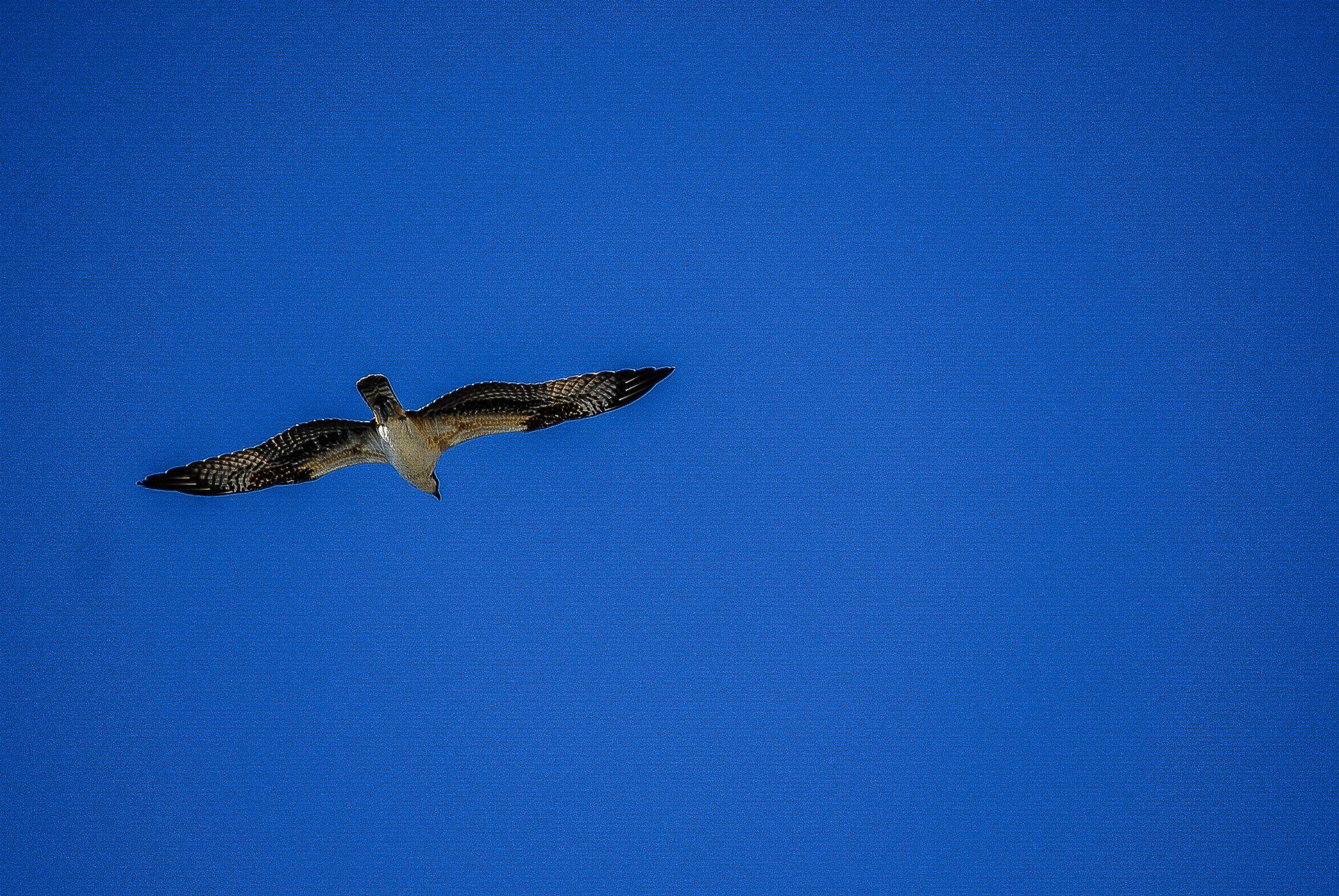 Osprey by joel.pelletier161