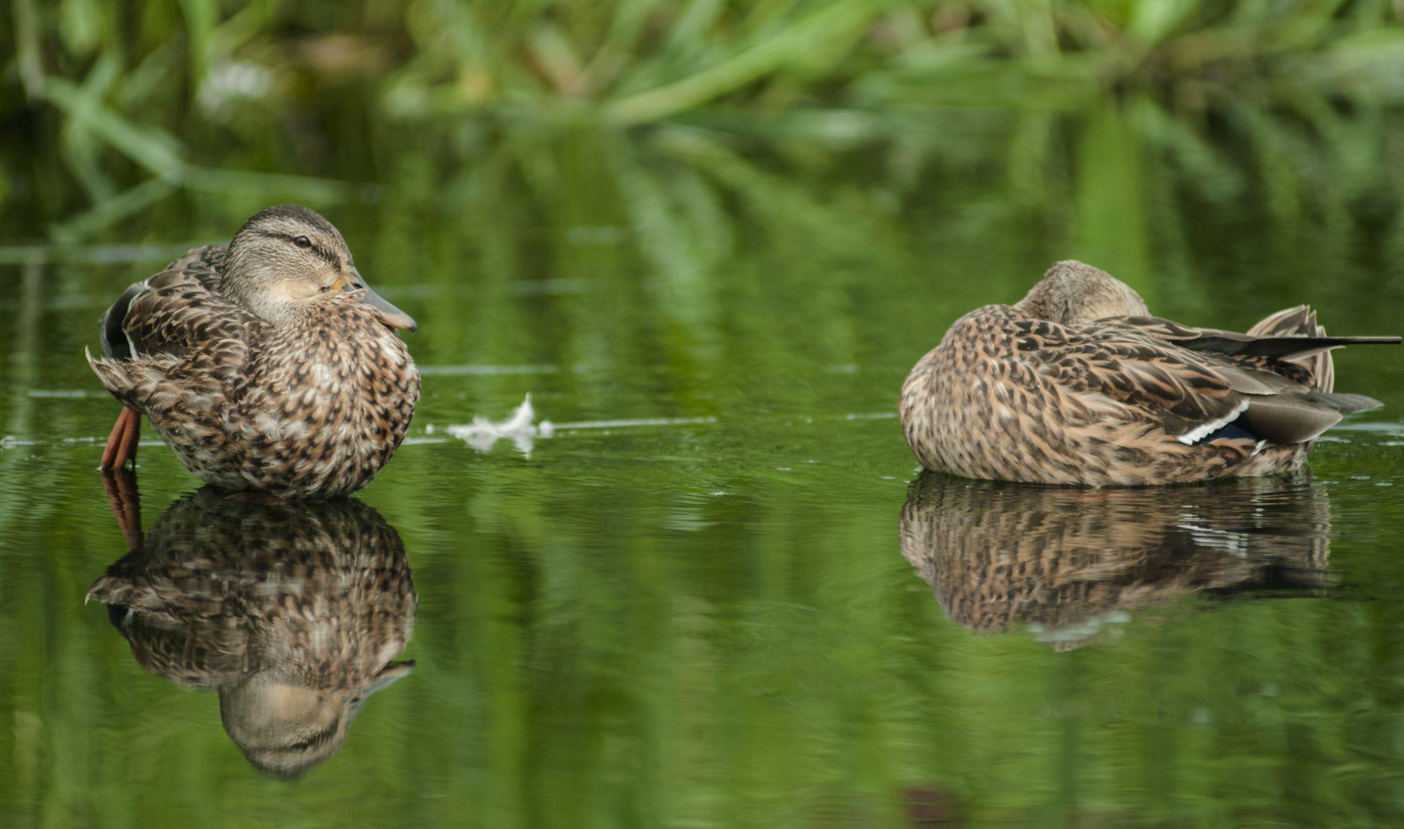 Duck tales by Homoki Gabi