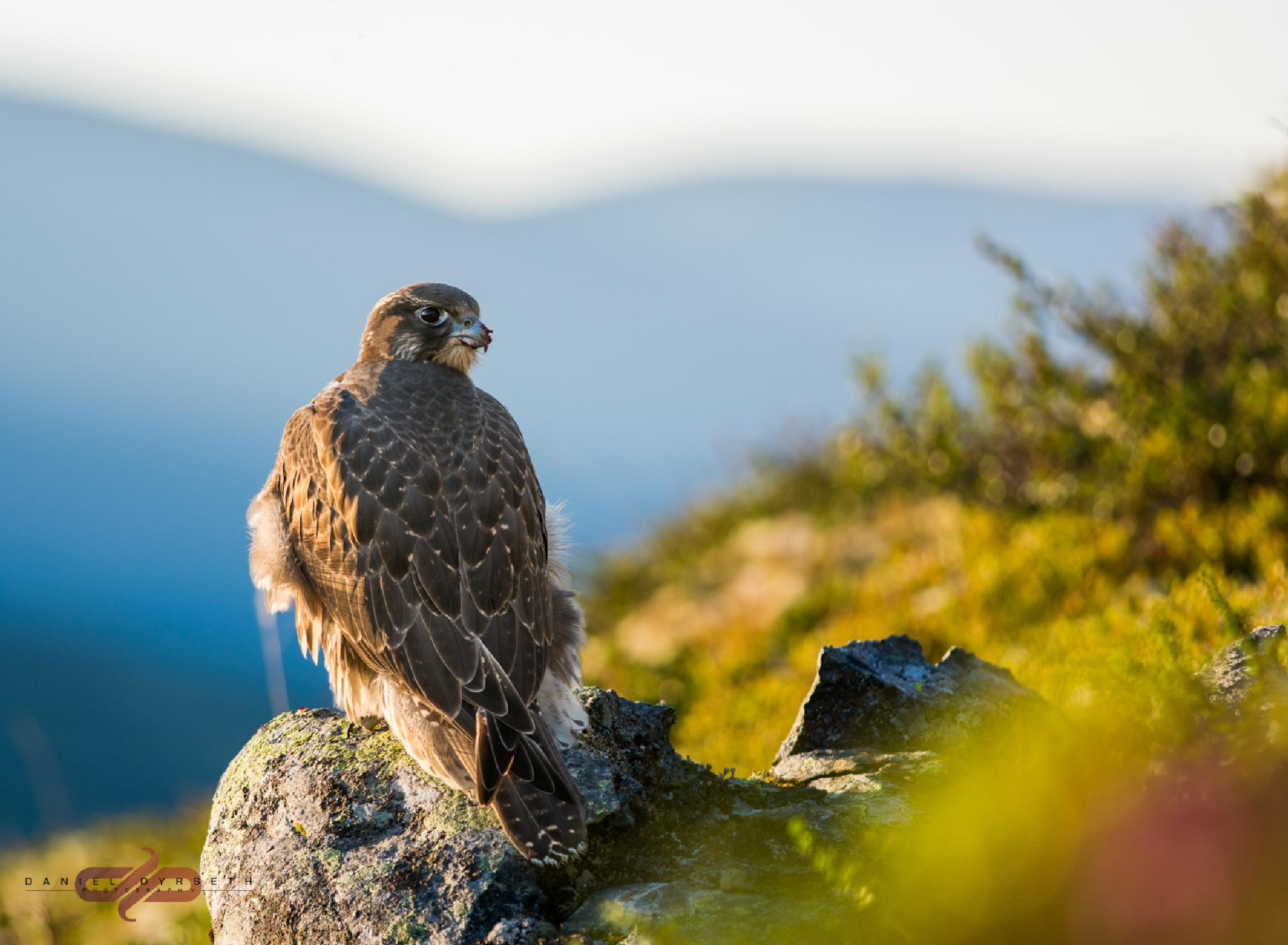 Gyrfalcon by DDPHOTOGRAPHY.NO