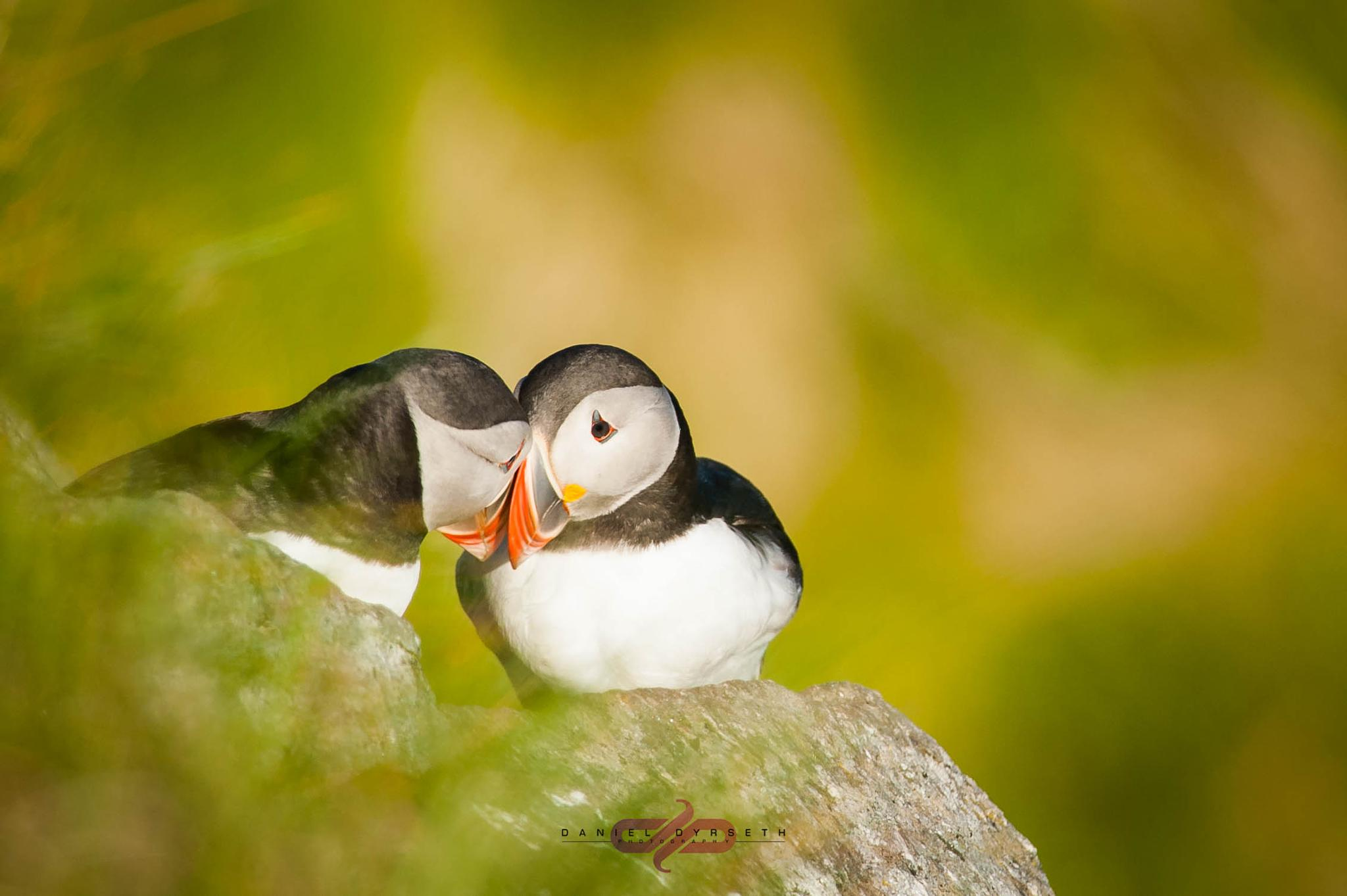 Atlantic puffin by DDPHOTOGRAPHY.NO