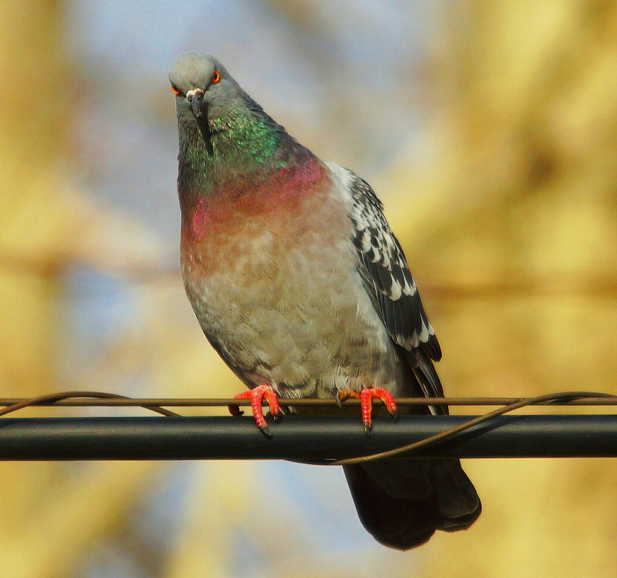 Blue rock pigeon by sergey.parfeniuk