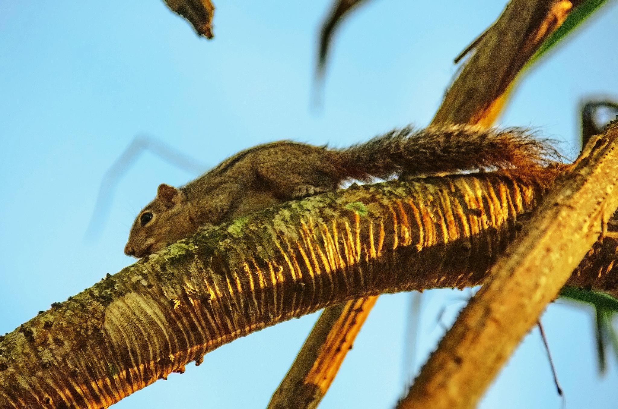 Palm Squirrel by sergey.parfeniuk