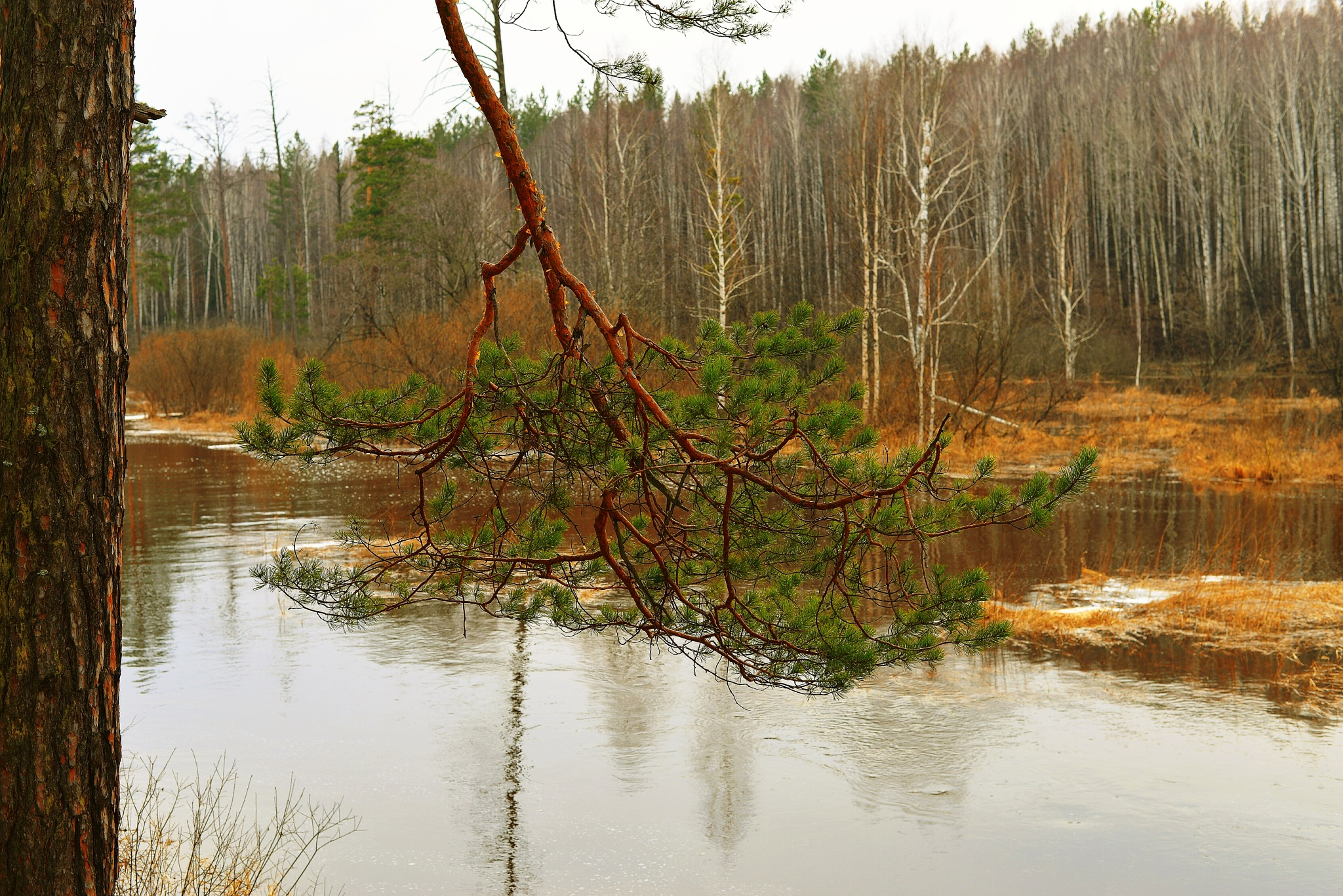 Pine branch by sergey.parfeniuk