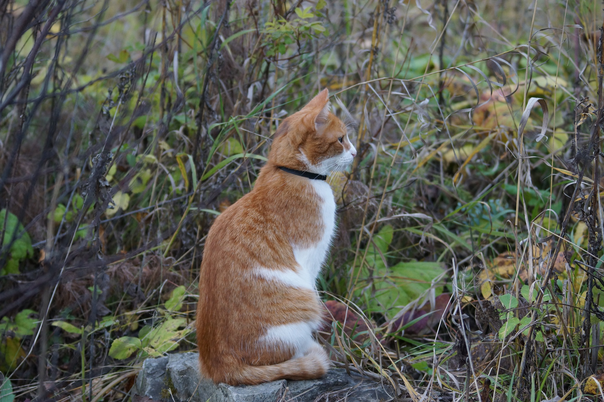 Cat RED.. admires in the fall by sergey.parfeniuk