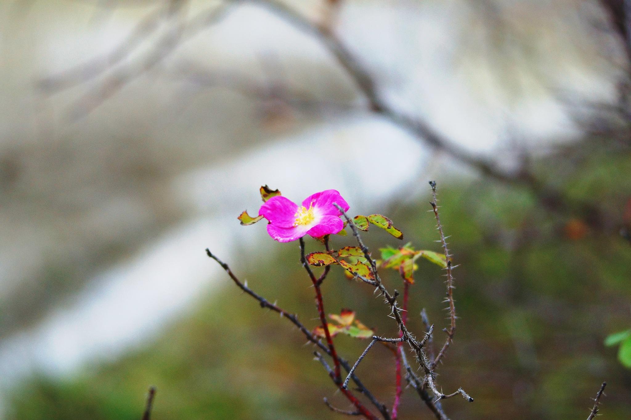 Dogrose flower by sergey.parfeniuk