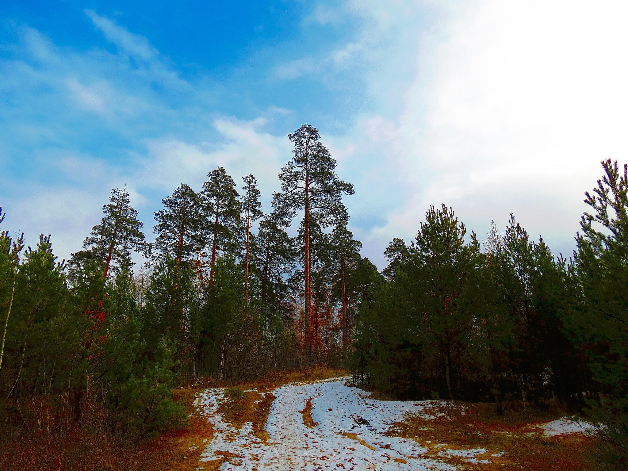 Pines Giants by sergey.parfeniuk