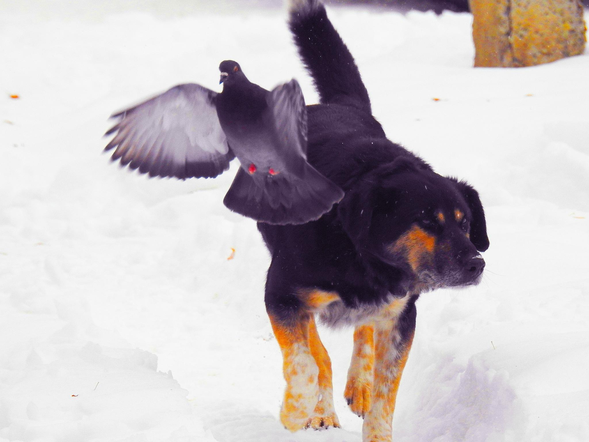 Dog and Pigeon  by sergey.parfeniuk