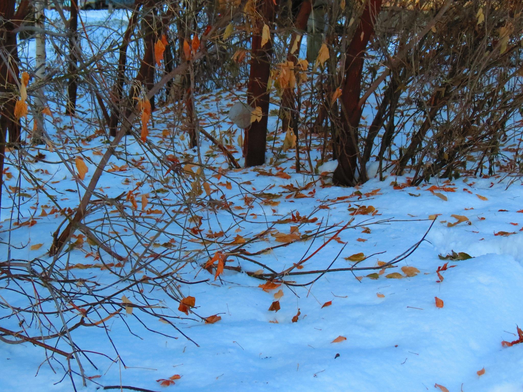 Leaves on snow by sergey.parfeniuk