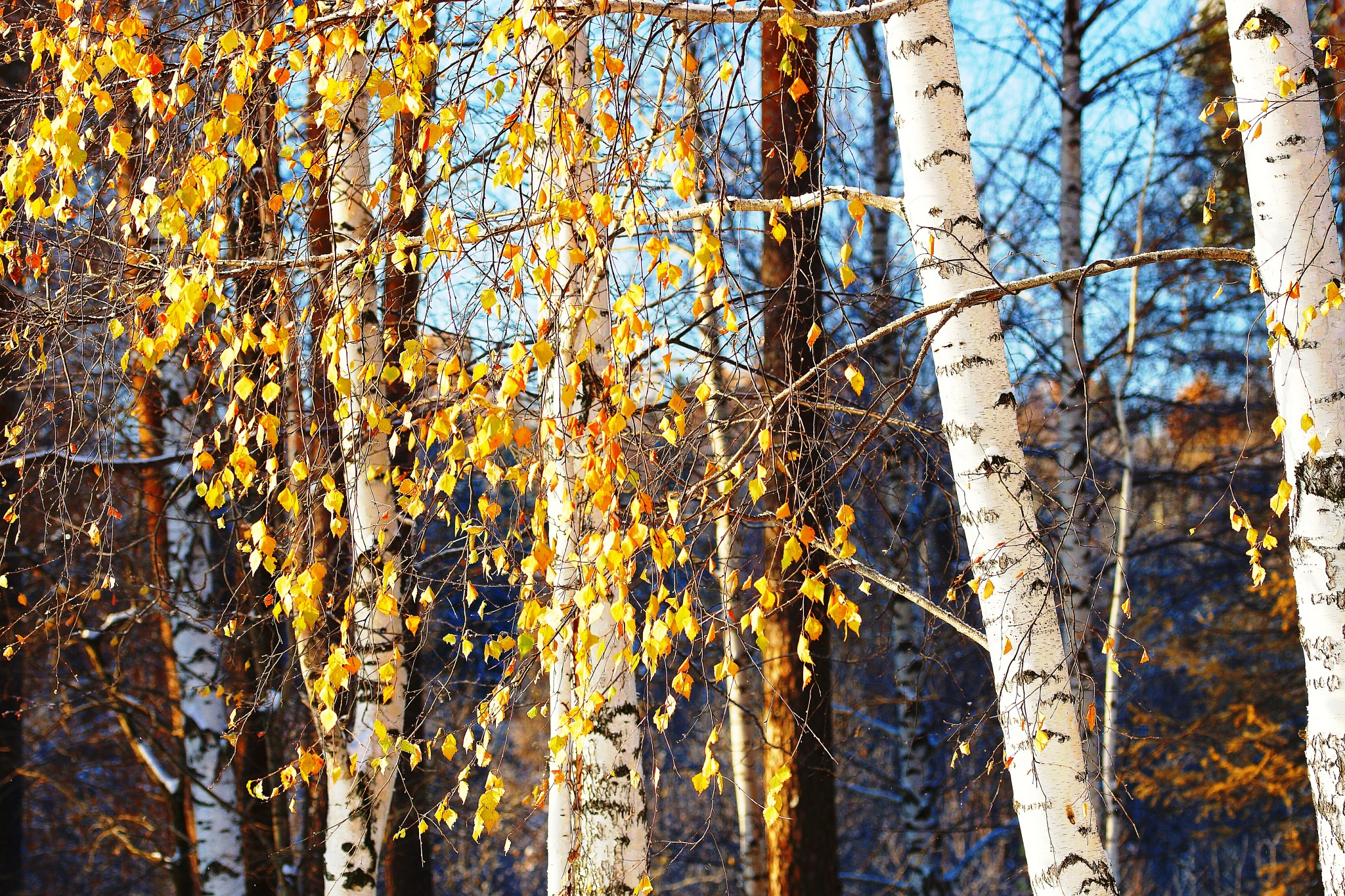 Yellow leaves of November by sergey.parfeniuk