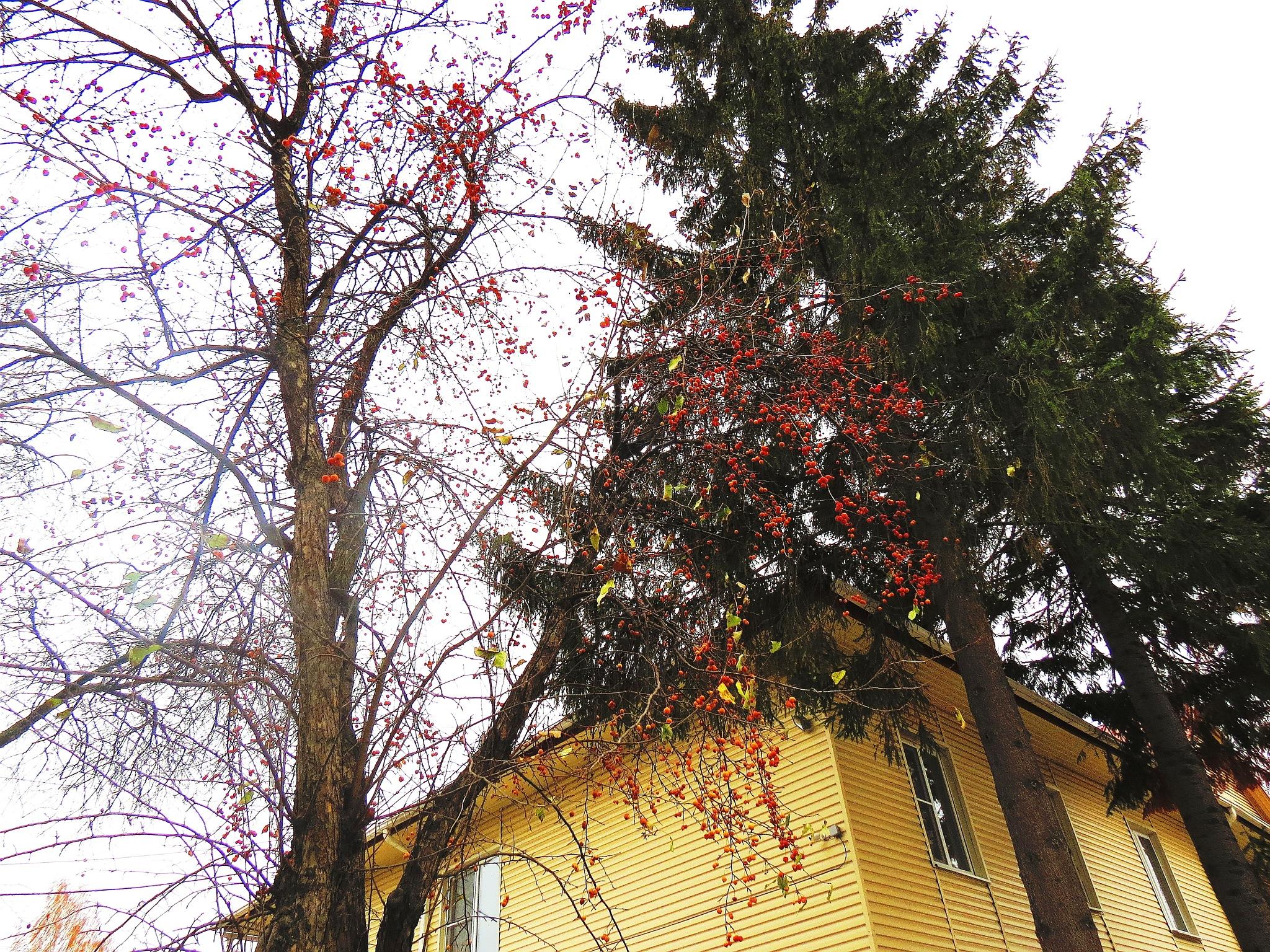 Magic apple-tree of fall by sergey.parfeniuk