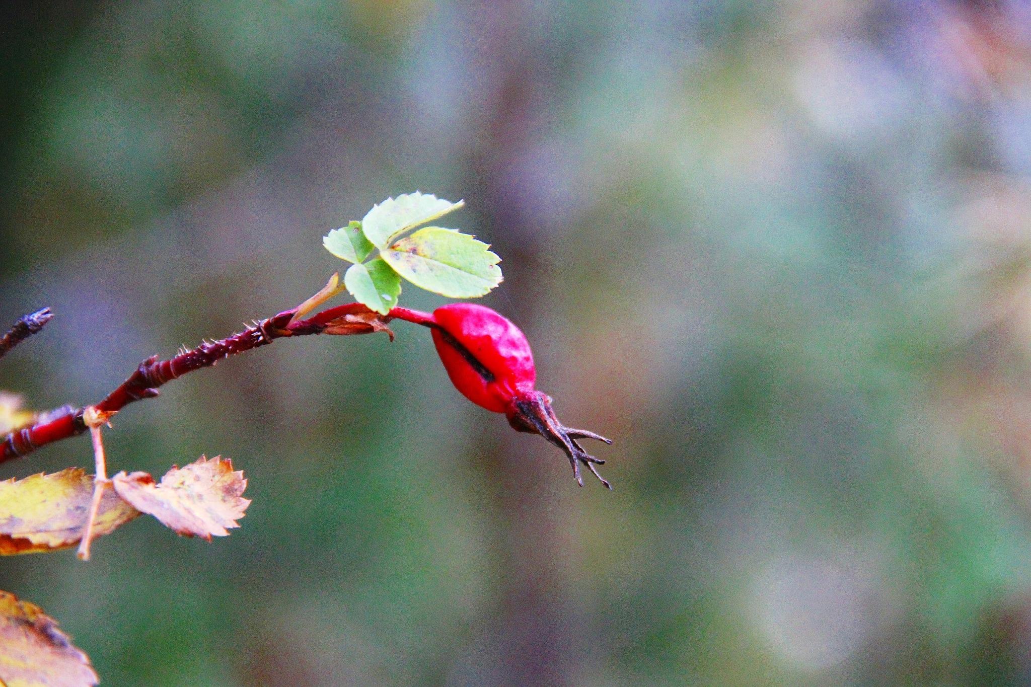 Purple berry a dogrose by sergey.parfeniuk