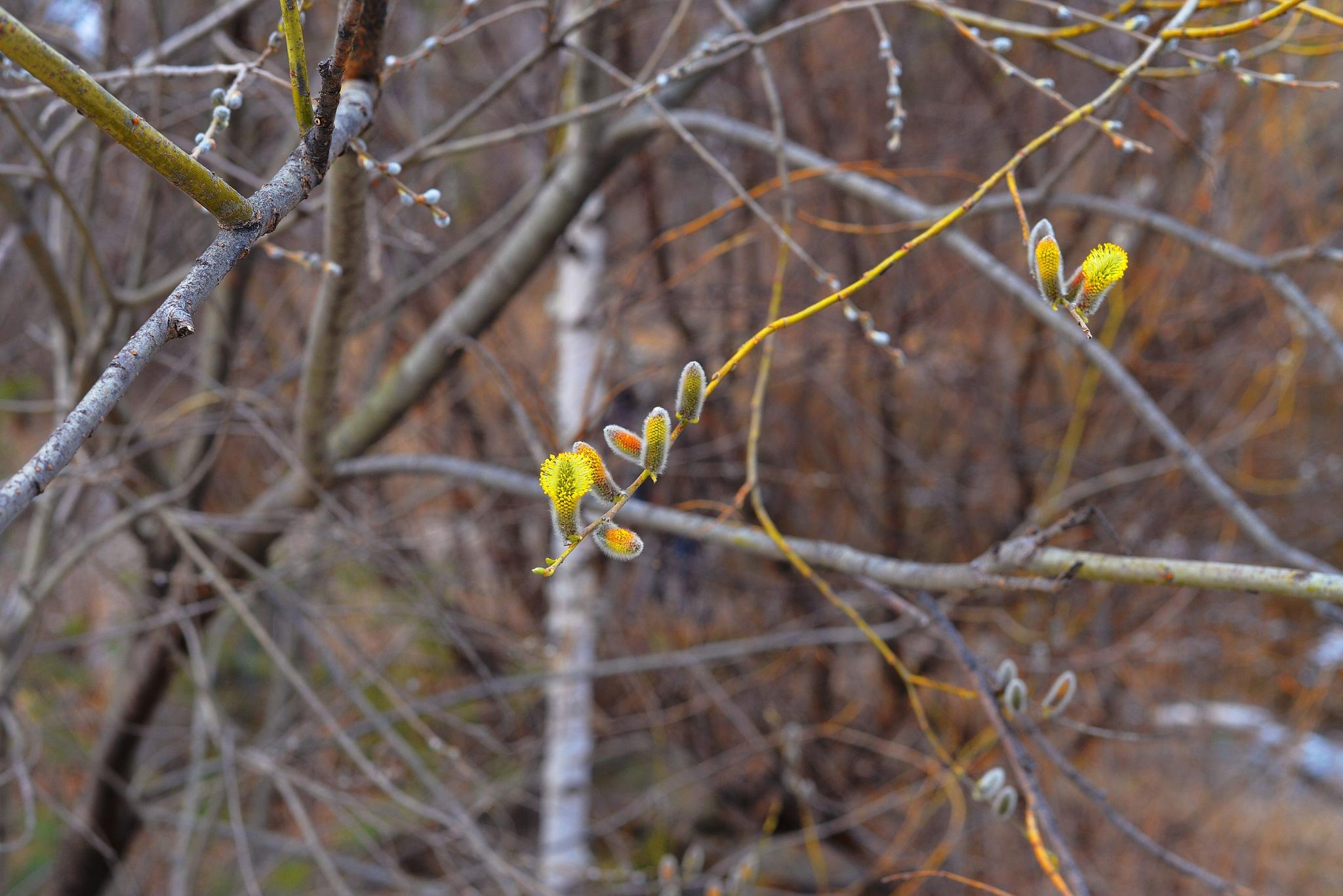 Spring melodies  by sergey.parfeniuk