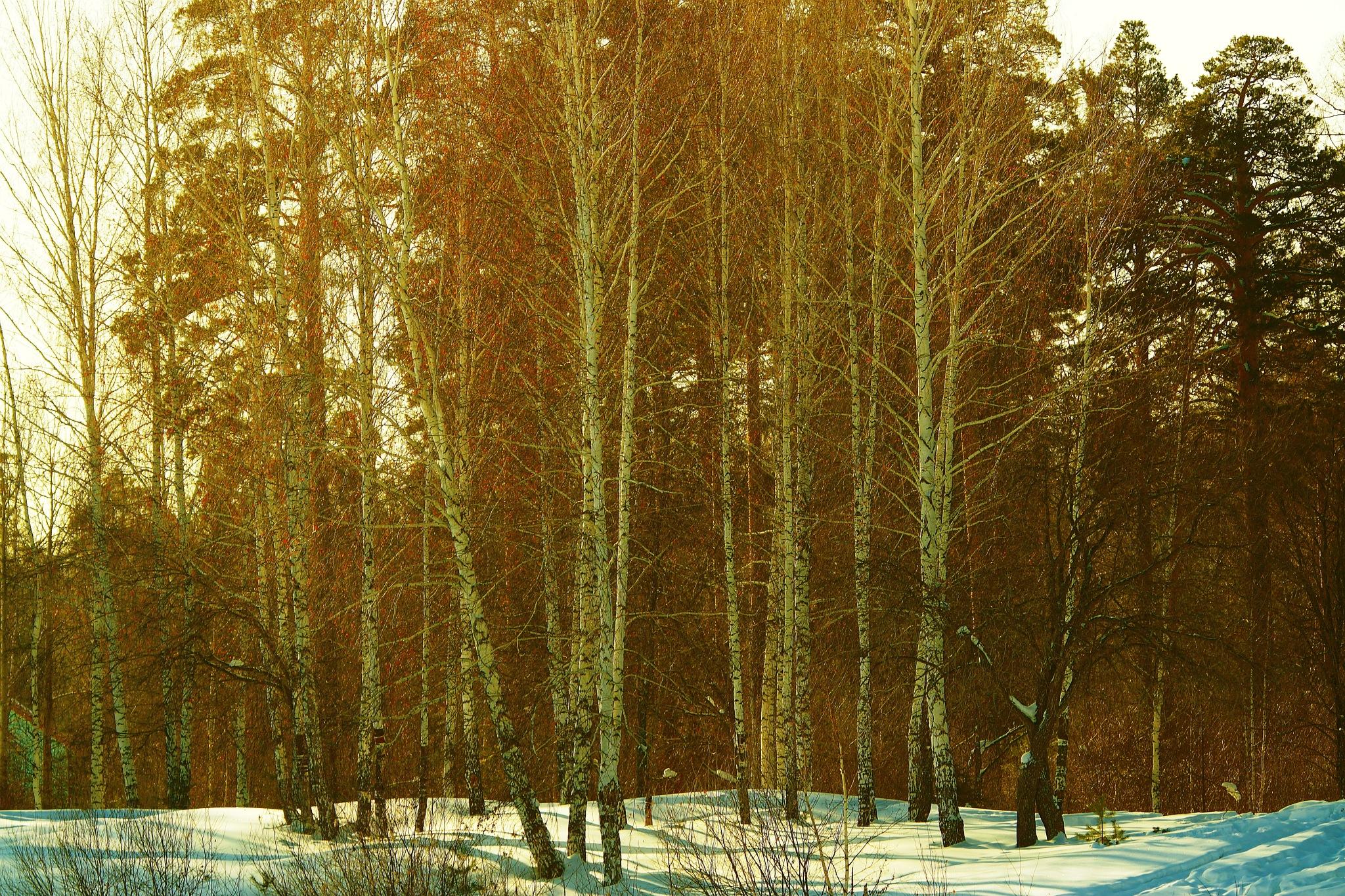 Silver birches of February by sergey.parfeniuk