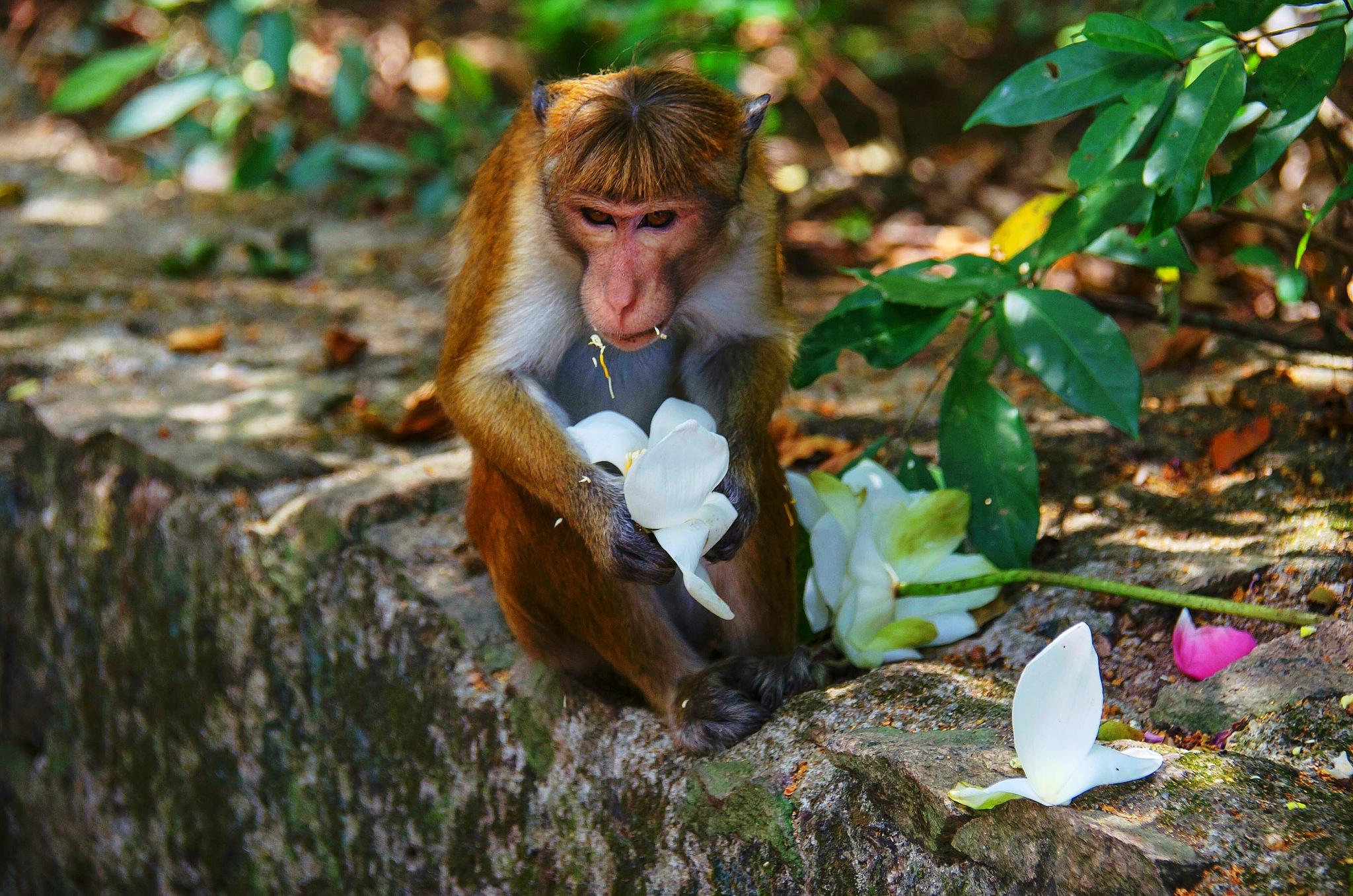 Monkey and Flowers by sergey.parfeniuk