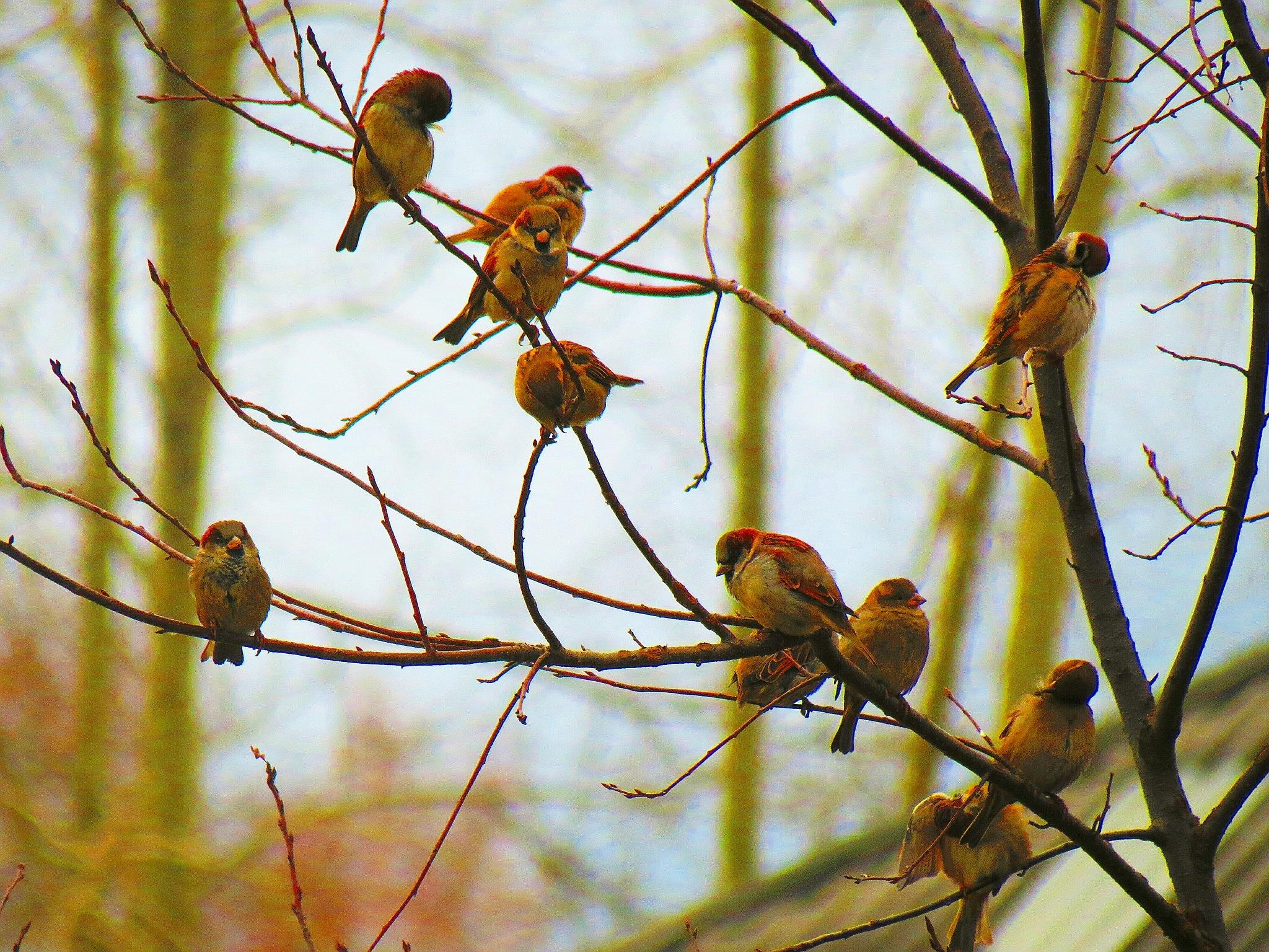 Sparrows  by sergey.parfeniuk