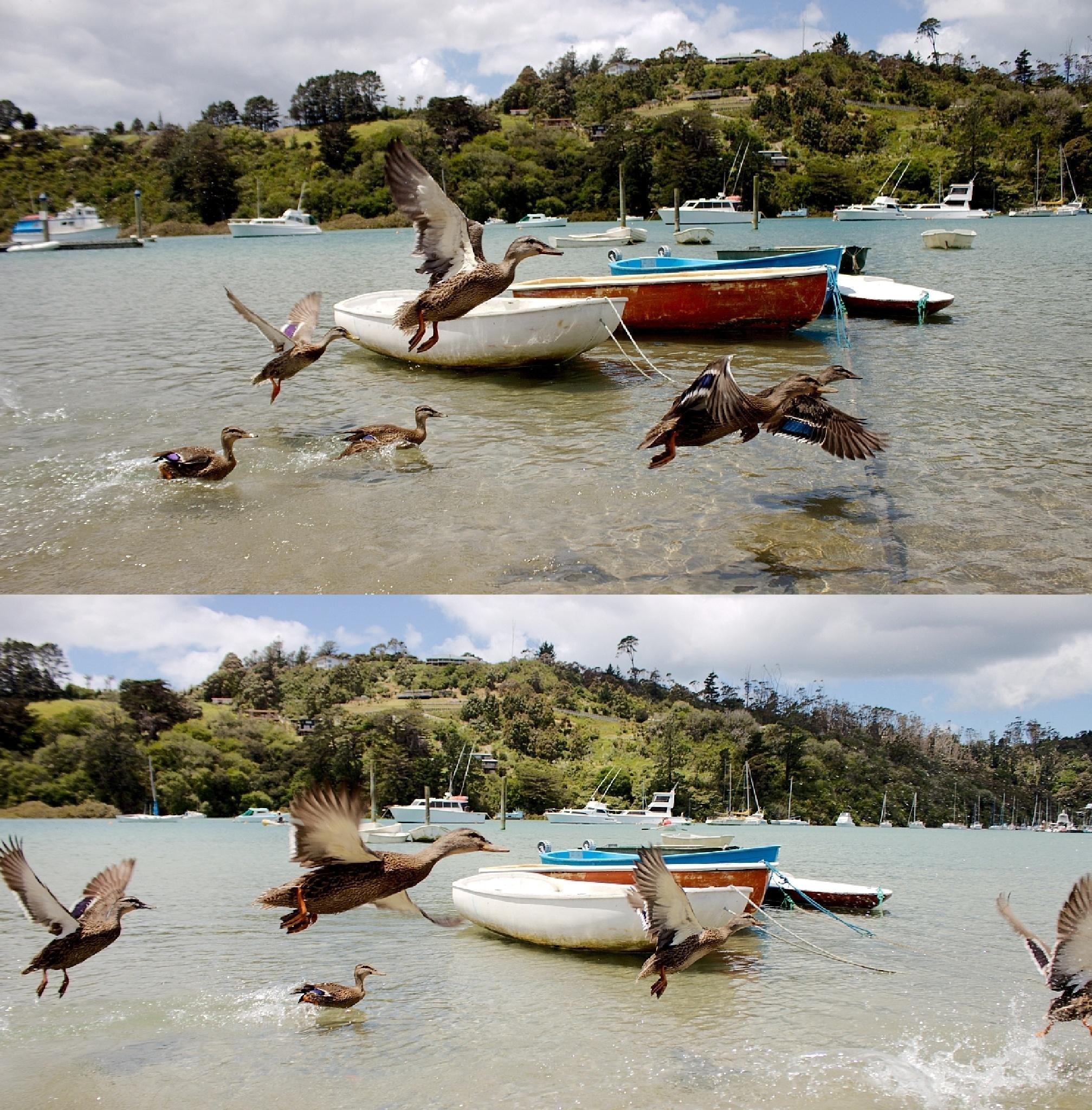 Double Duck Mayhem by Simons Photography