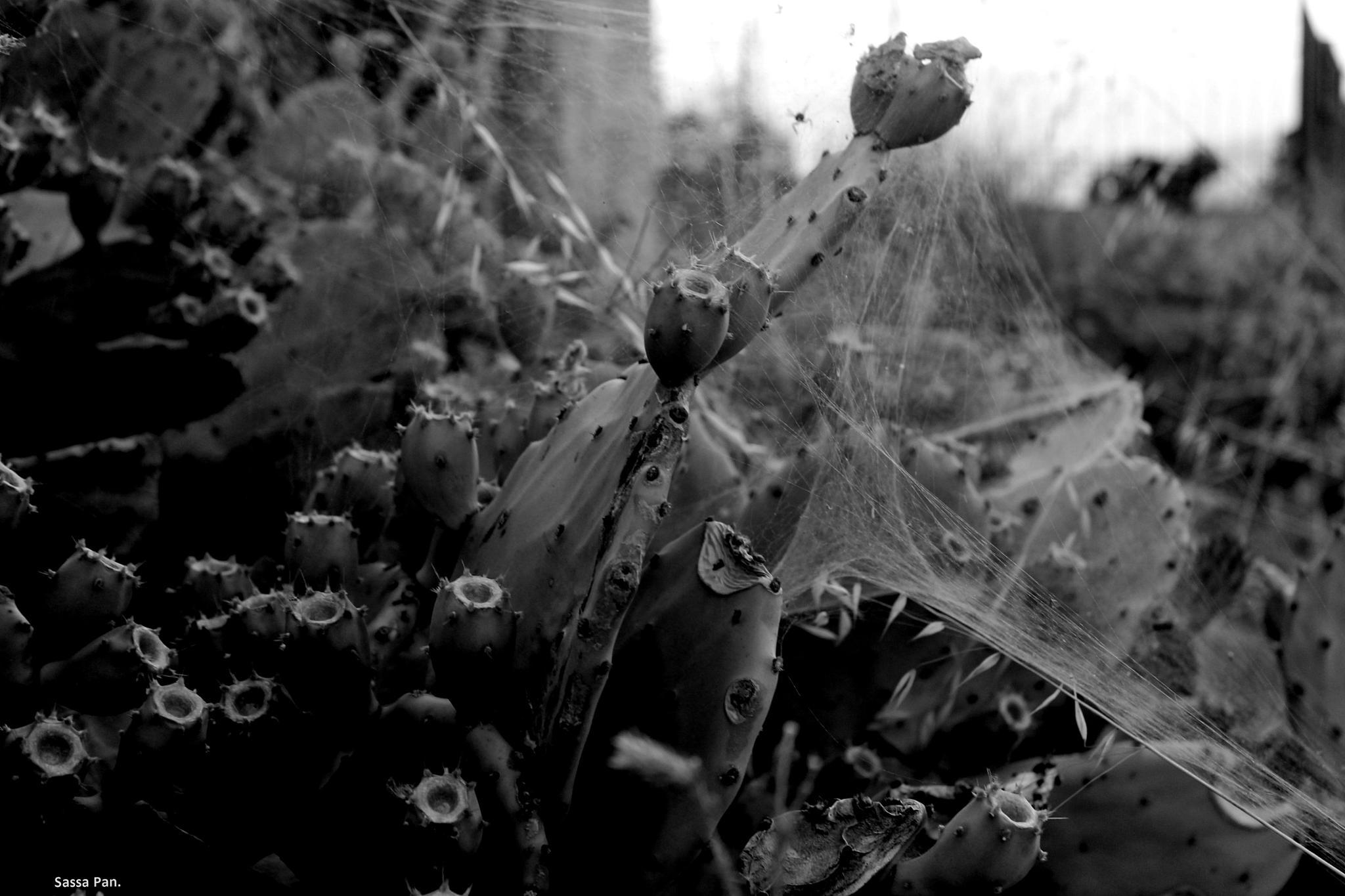 spider.. by sassa.pan