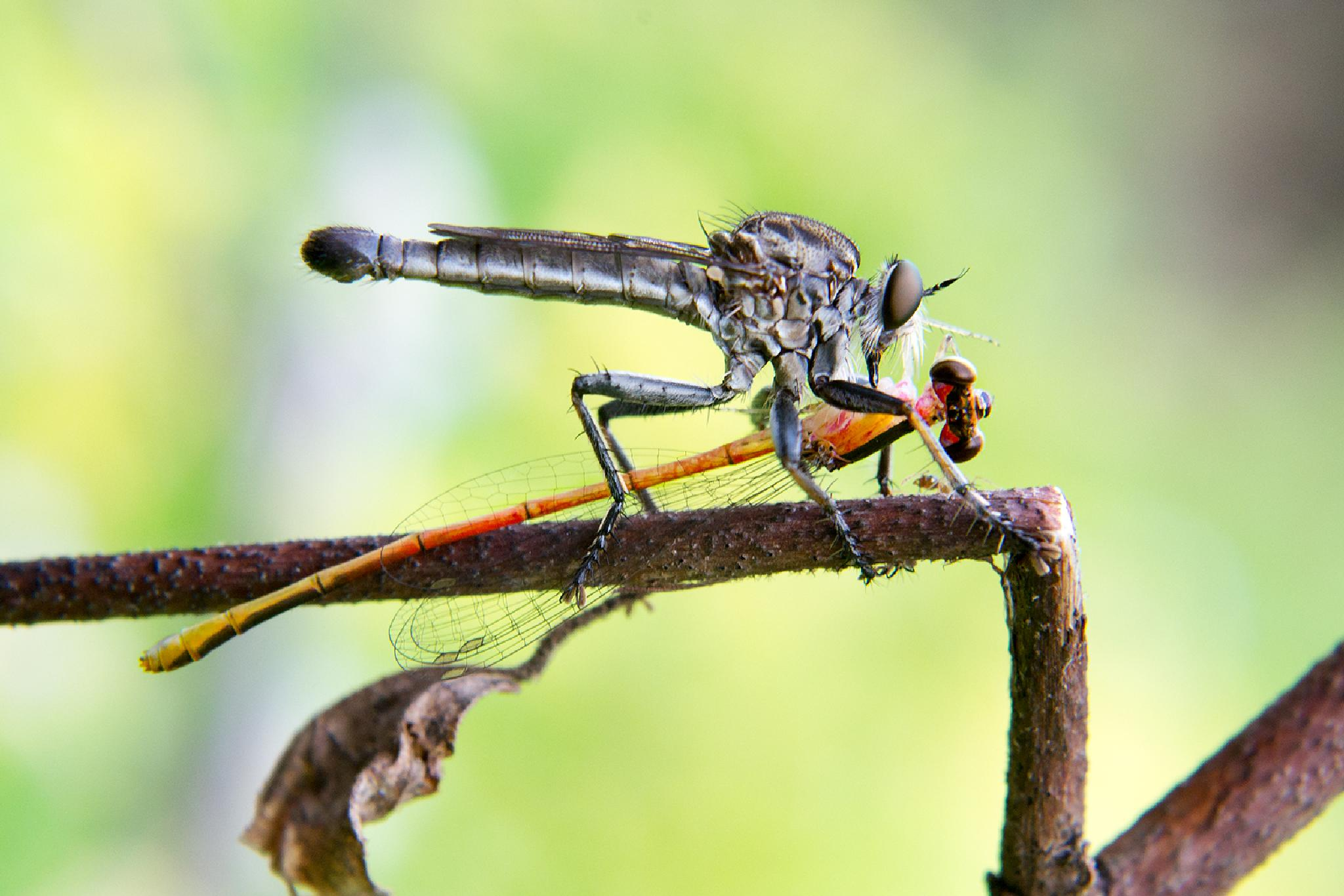 Robberfly with Prey (Damselfly) by donaldjusa
